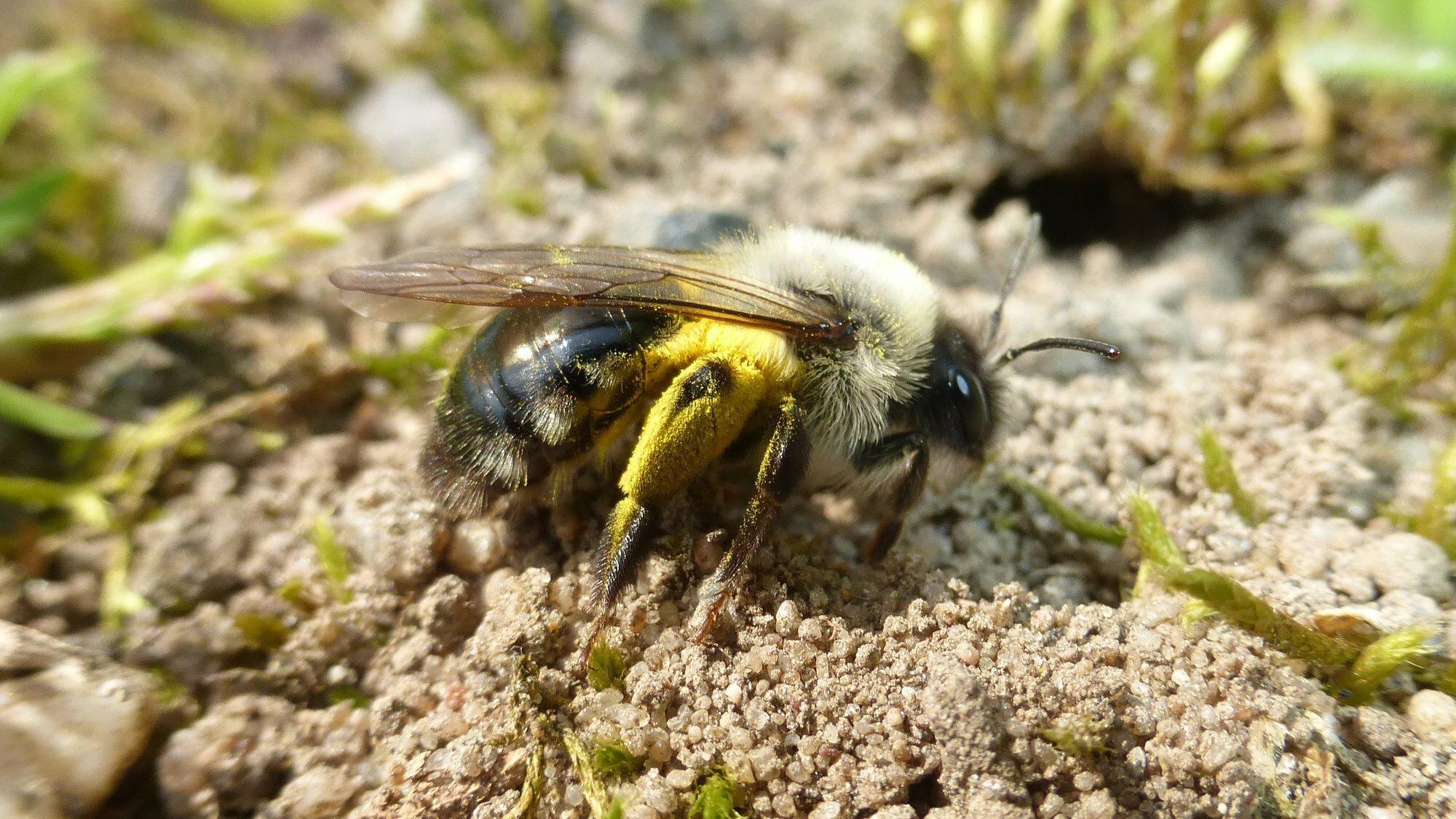 Weibliche Sandbiene sitzt mit angelegten Flügeln auf sandigem Boden, die Hinterbeine gelb mit Pollen.