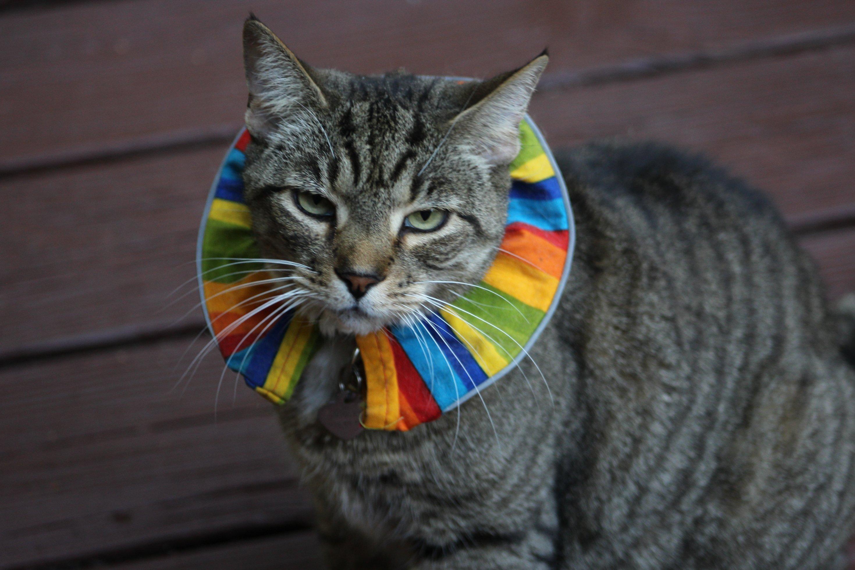 Eine ziemlich bedröppelt guckende Katze, die einen breiten Kragen in knallbunten Regenbogenfarben um den Hals trägt