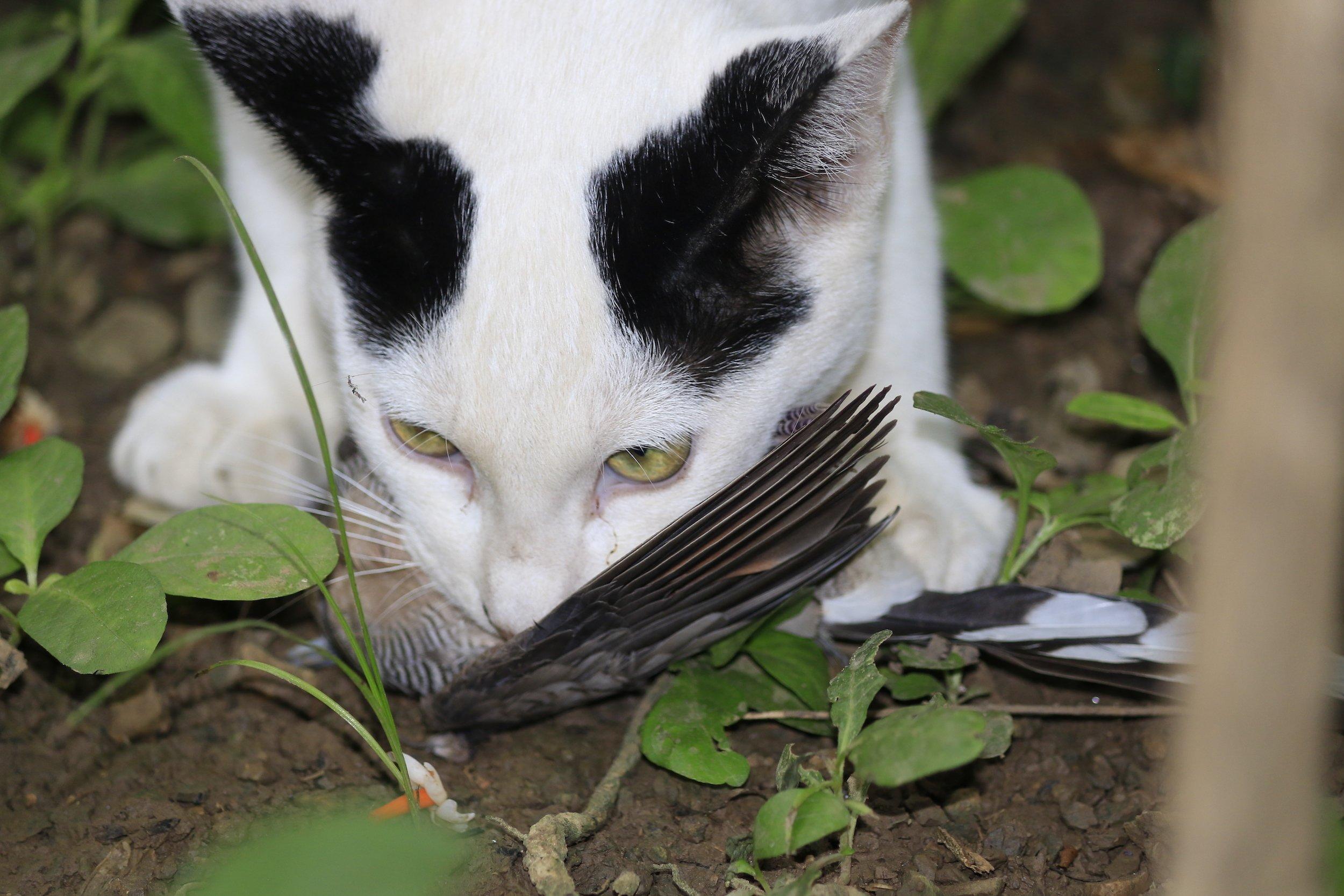 Eine schwarzweiße Katze hält einen erbeuteten Singvogel im Maul.