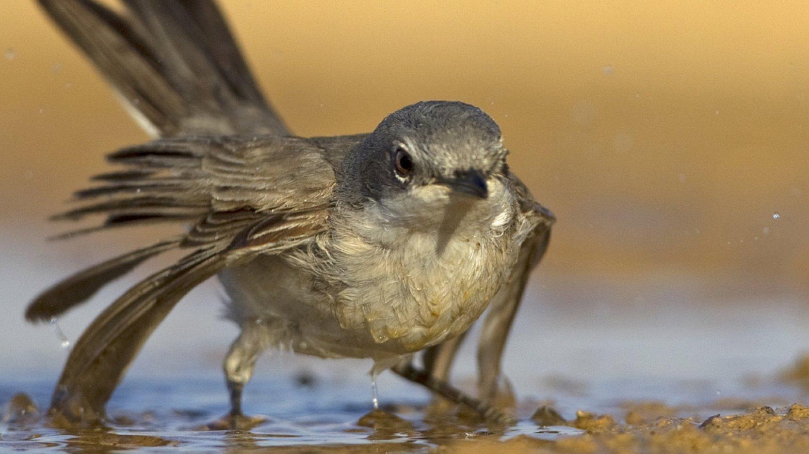 Eine Klappergrasmücke mit gespreizten Flügeln steht mit den Füßen im Wasser.