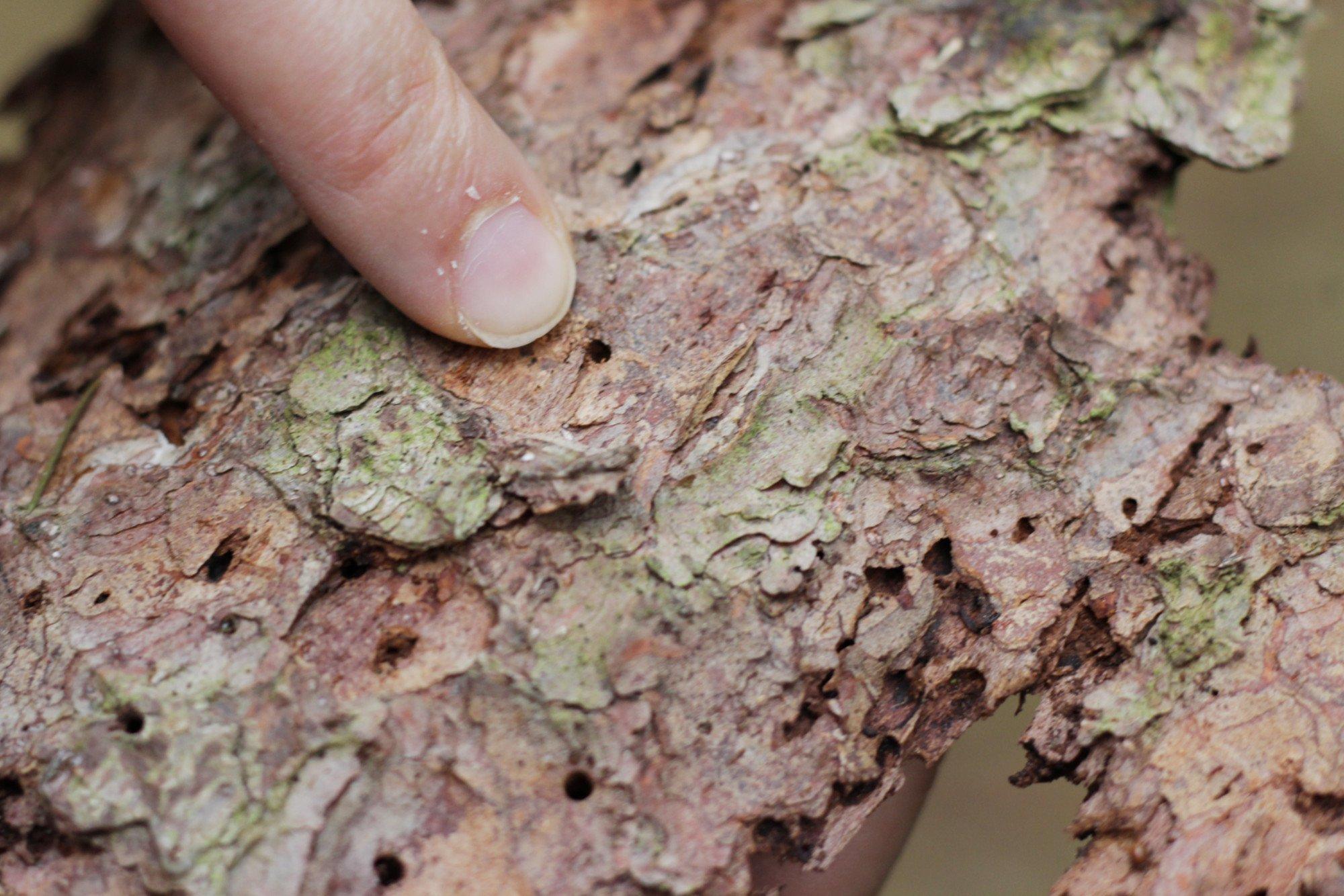 Finger zeigt auf kleine Löcher in einem Stück Fichtenrinde.