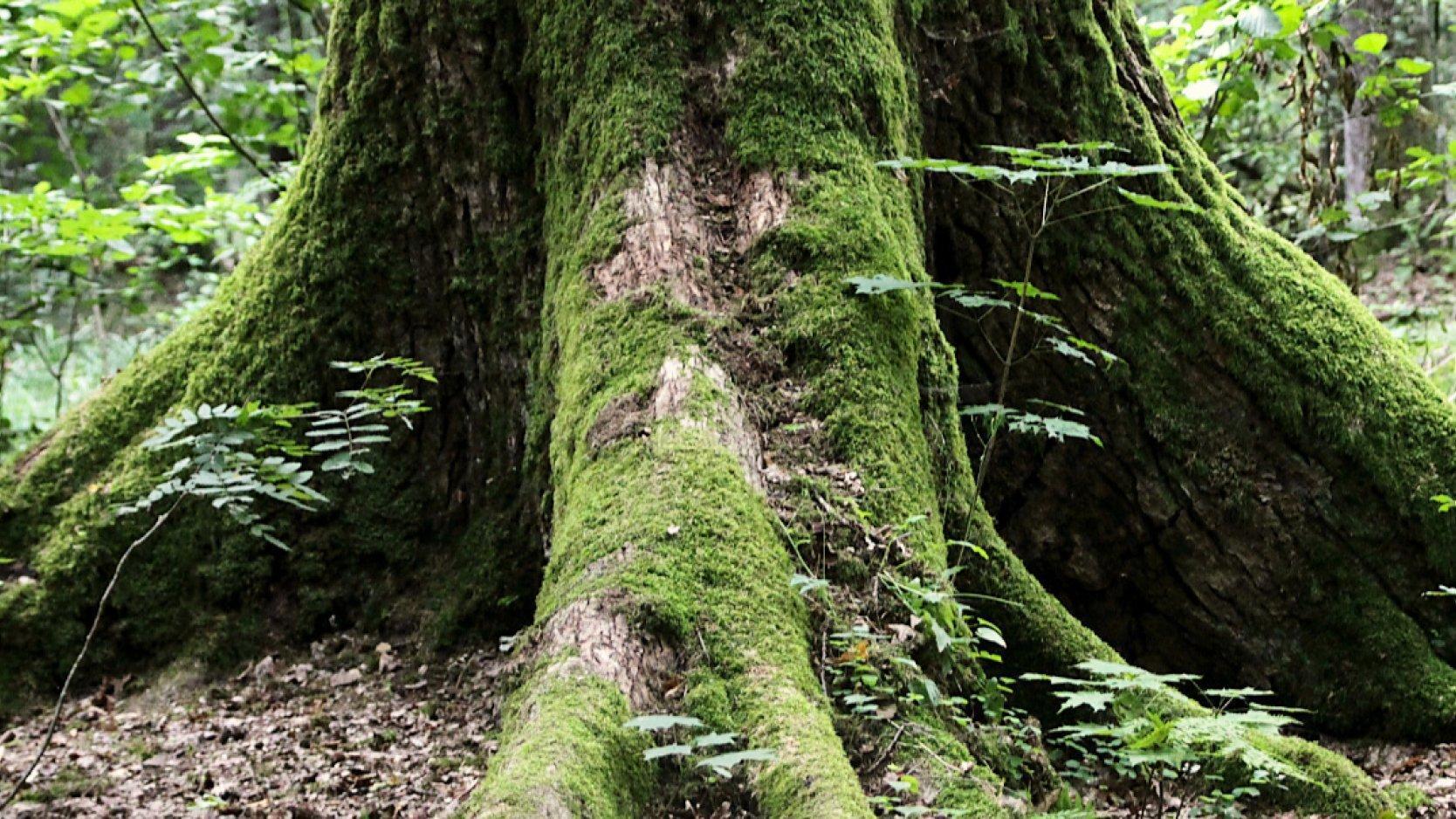 Moosbewachsener Baumstamm im Wald von Białowieża in Polen.