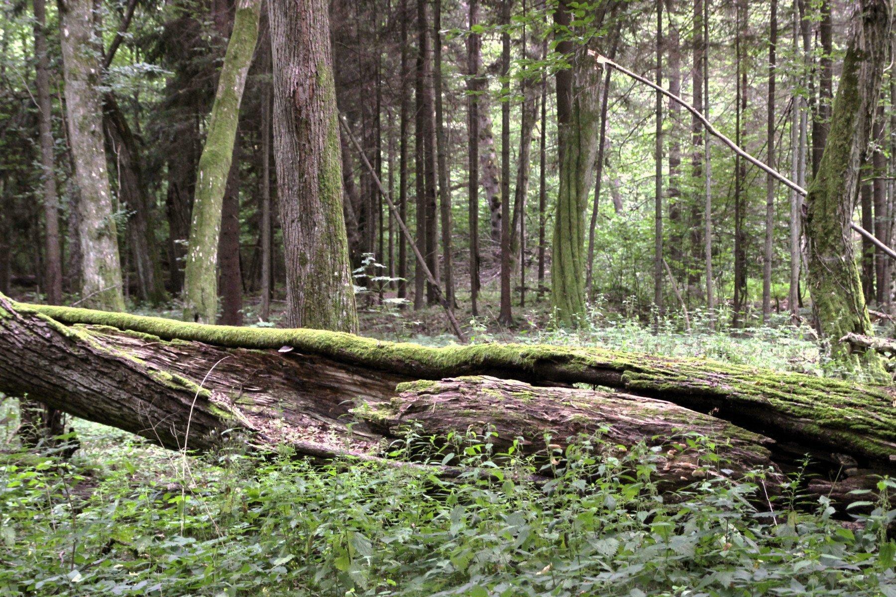 Morscher, moosbewachsener Baumstamm liegt auf dem Waldboden, Bäume im Hintergrund.