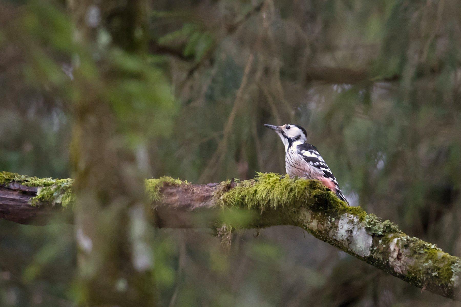Ein schwarz-rot-weißer Vogel sitzt auf einem moosbewachsenen Ast.