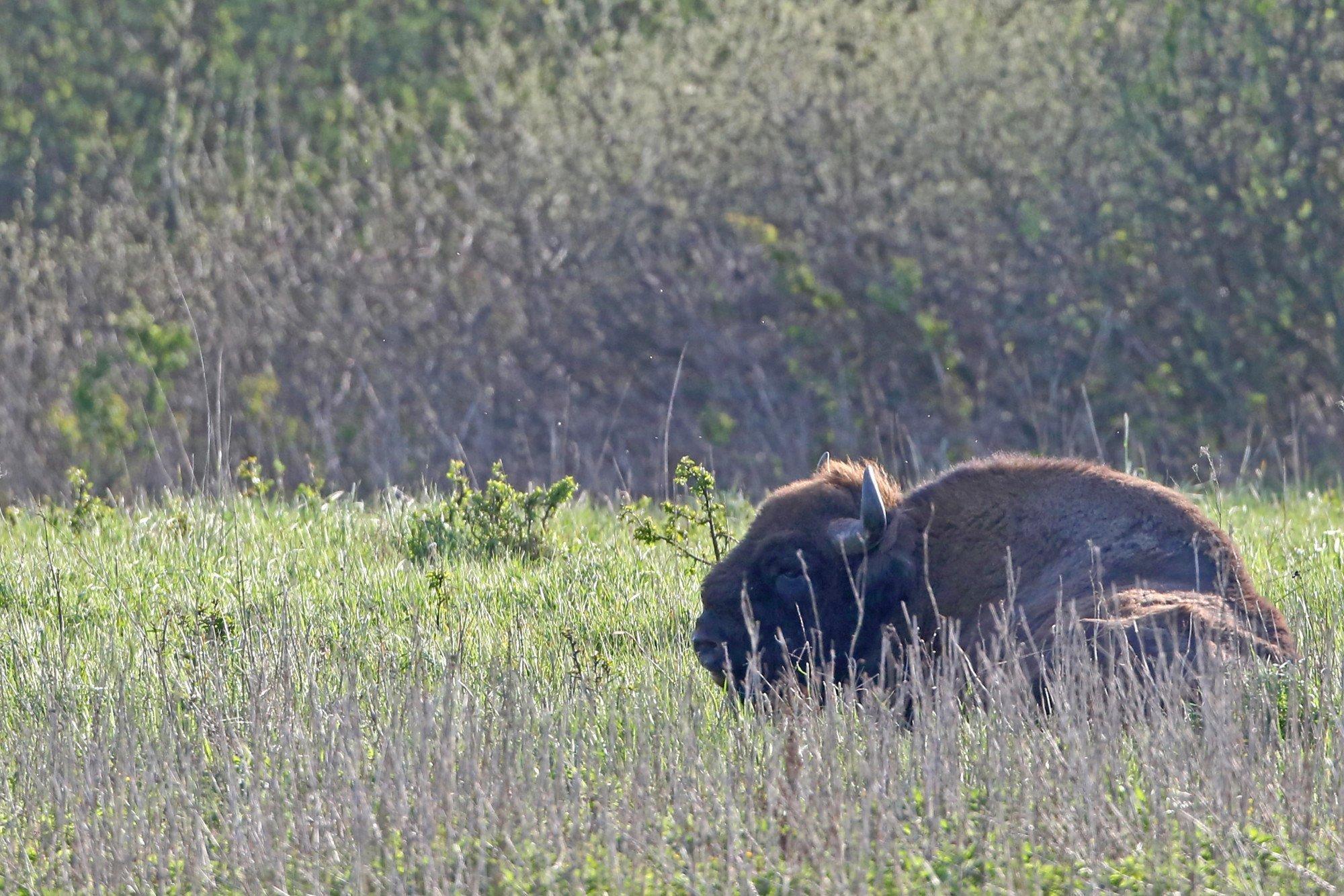 Ein einzelnes Wisent sitzt im Sonnenschein in höherem Gras.