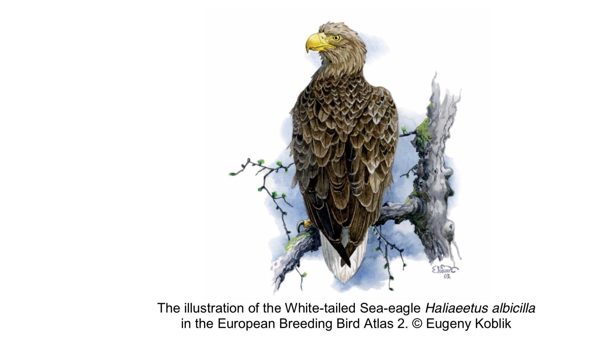 Zeichnung eines Seeadlers aus dem neuen Europäischen Brutvogelatlas.