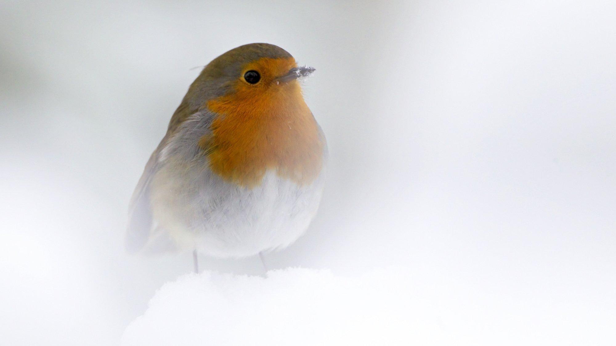 Ein Rotkehlchen sitzt im Schnee