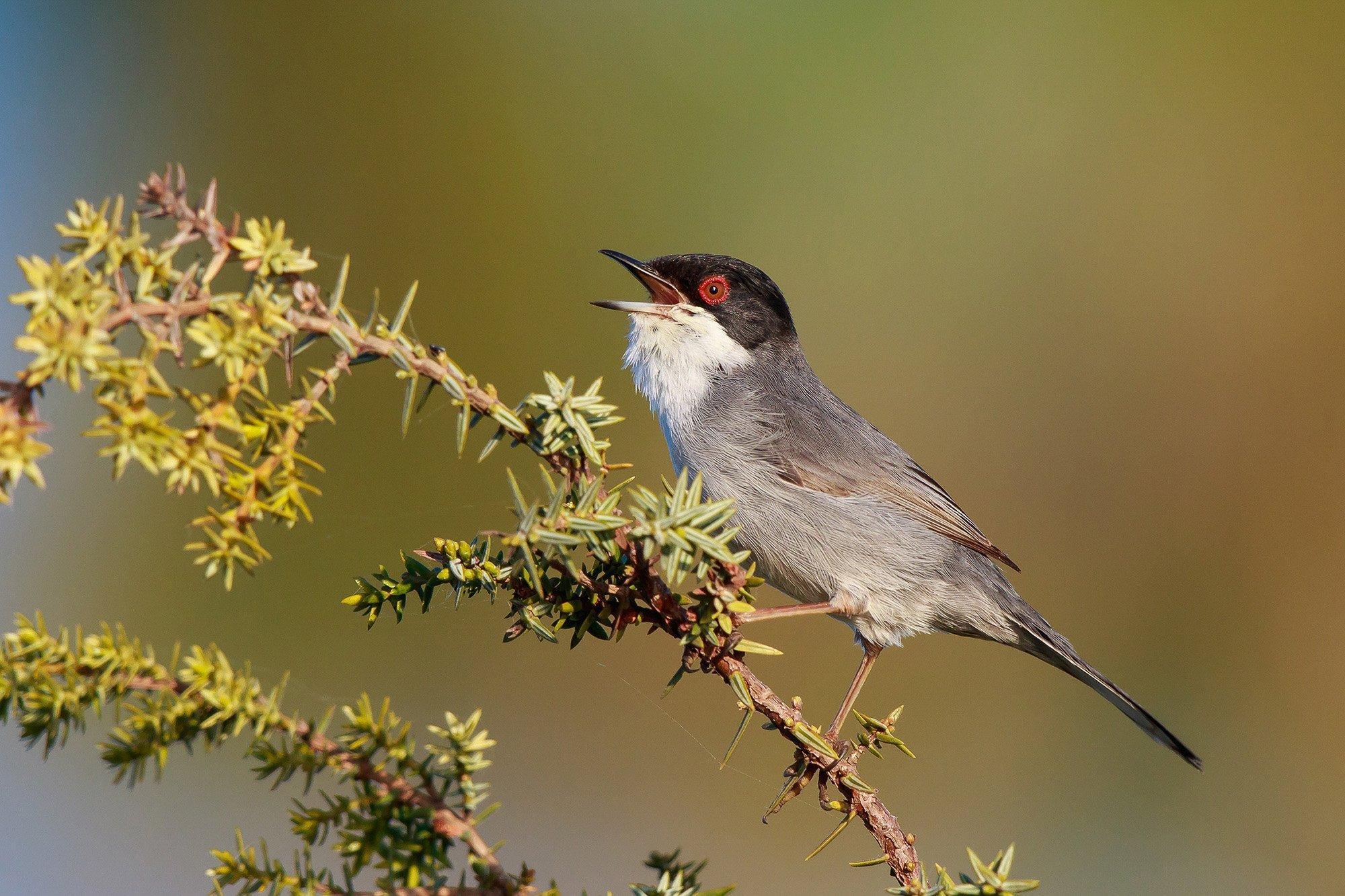 Eine Samtkopfgrasmücke, ein hellgrauer Vogel mit schwarzem Kopf, weißem Hals und leuchtend rotem Auge.