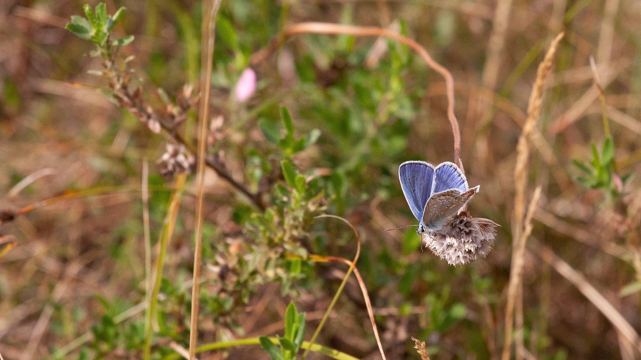 Ein blauer Schmetterling sitzt auf einer Blüte.