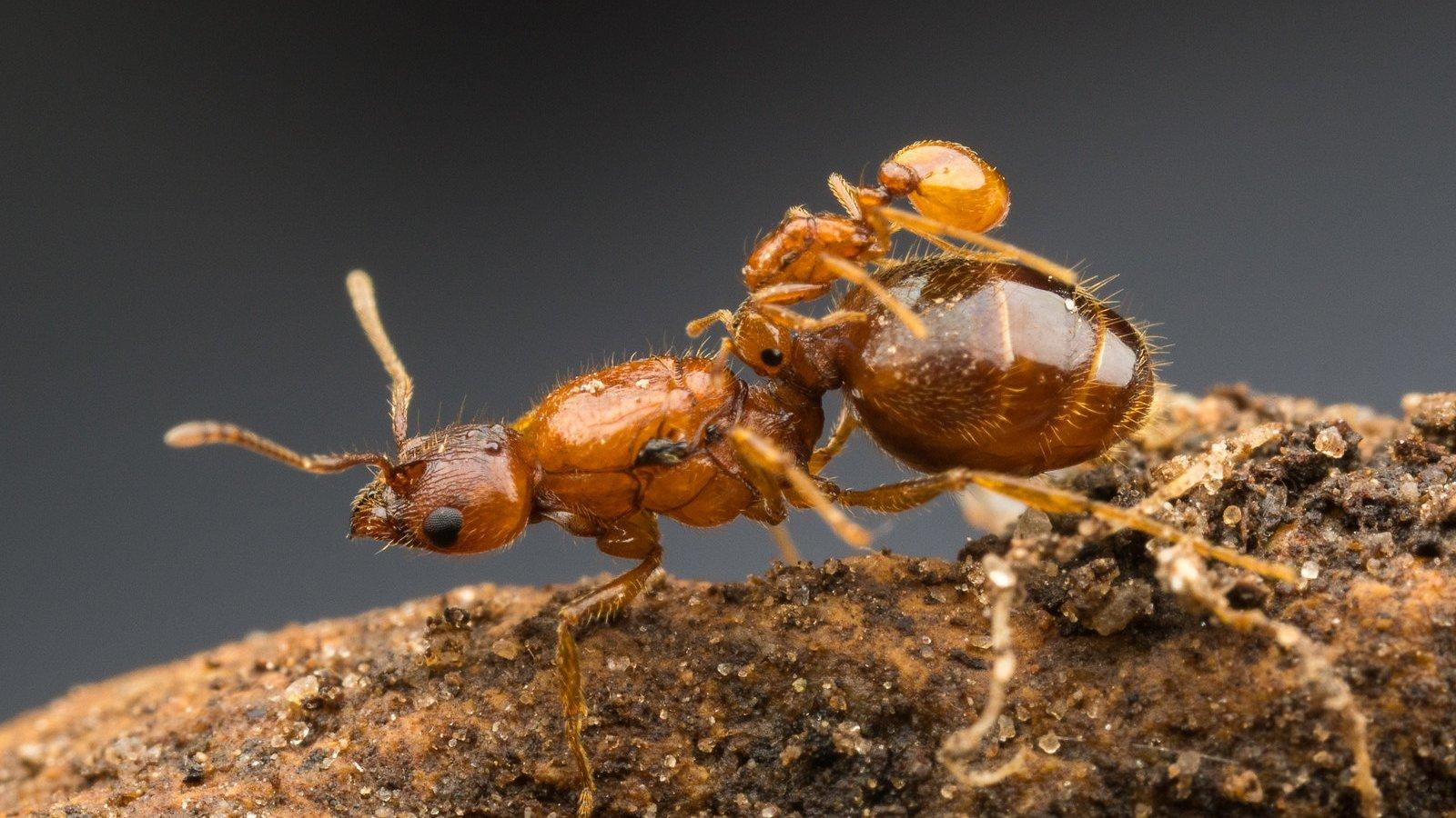 Eine dunkelbraune Ameisenkönigin auf einem Stück Holzrinde. Auf ihrem Rücken eine winzige bernsteinfarbene Ameise, die sich an die Taille des größeren Insekts klammert.