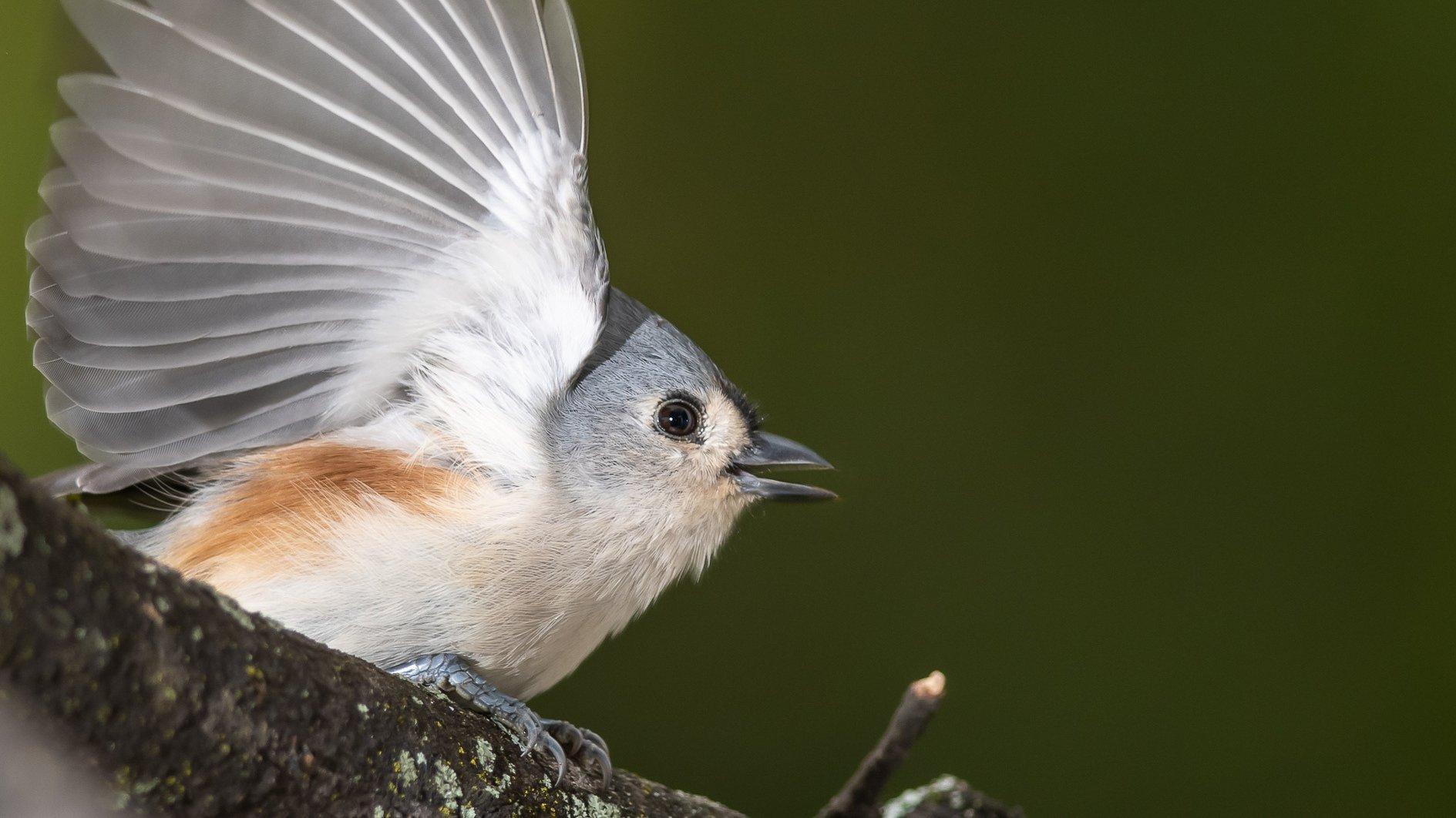 Ein kleiner grauer Vogel von der Seite mit ausgebreitetem Flügel.
