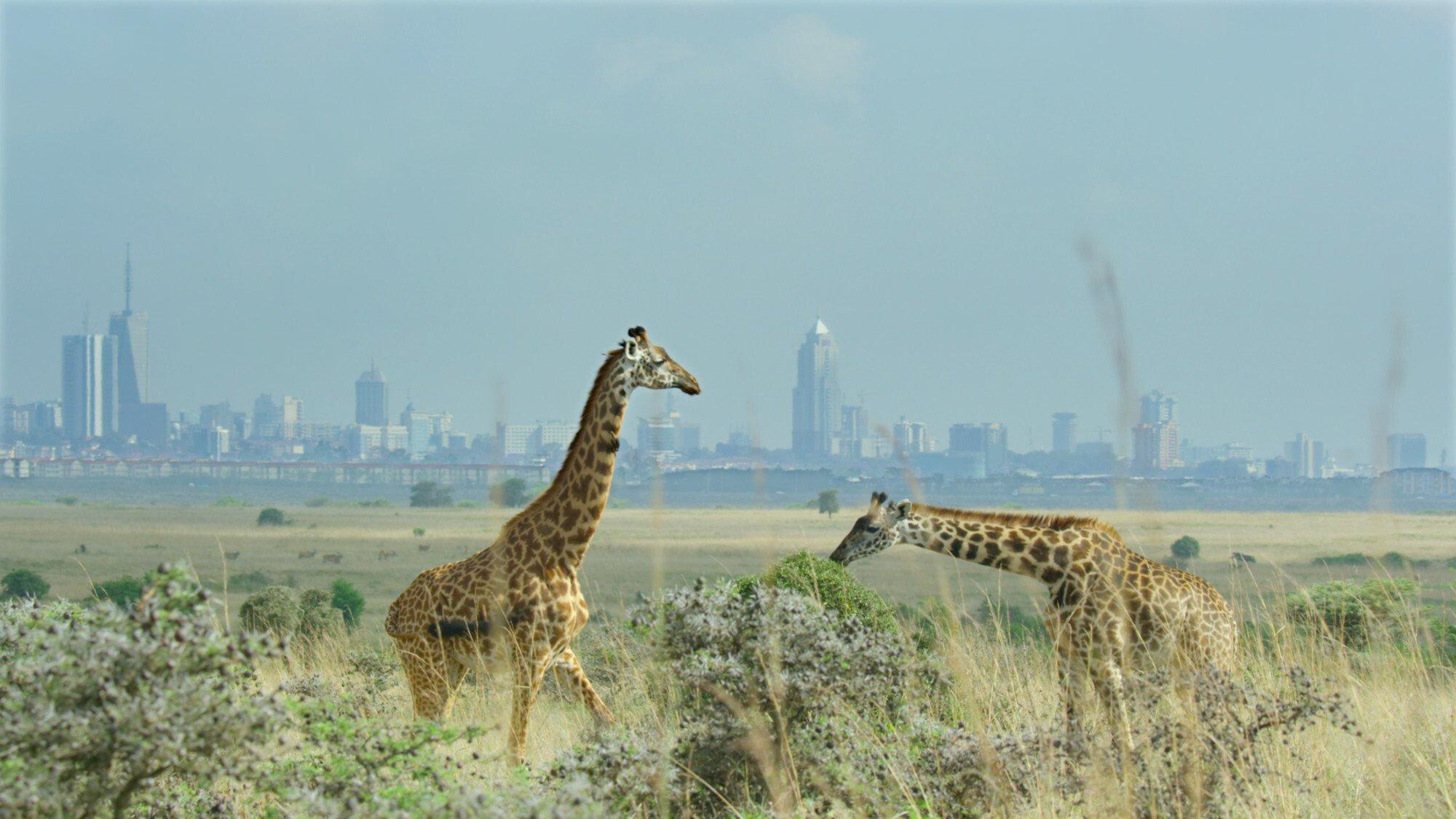 Im Vordergrund zwei Giraffen in der Savanne, im Hintergrund erheben sich Wolkenkratzer einer Großstadt. Copyright: © 2021Netflix, Inc.