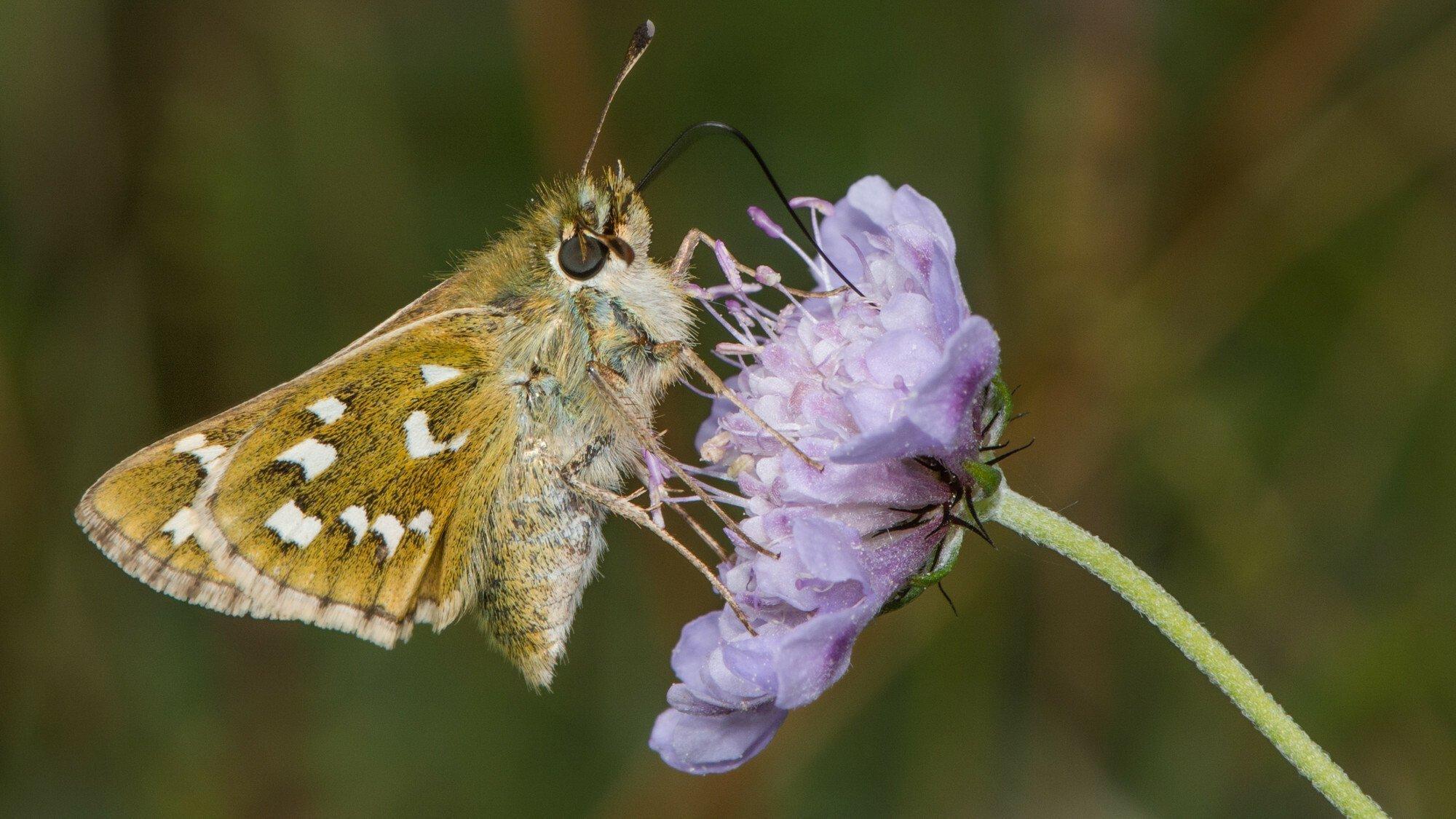 Ein ockerfarbener Falter mit weißen Flecken auf den Flügeln sitzt seitlich auf einer hell-violetten Blüte.