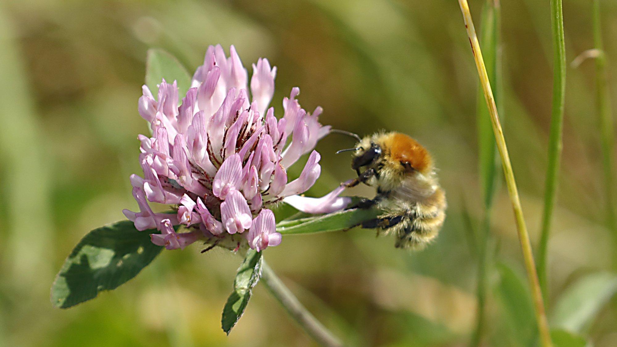 Wildbiene sitzt seitlich an einer rosa Kleeblüte.