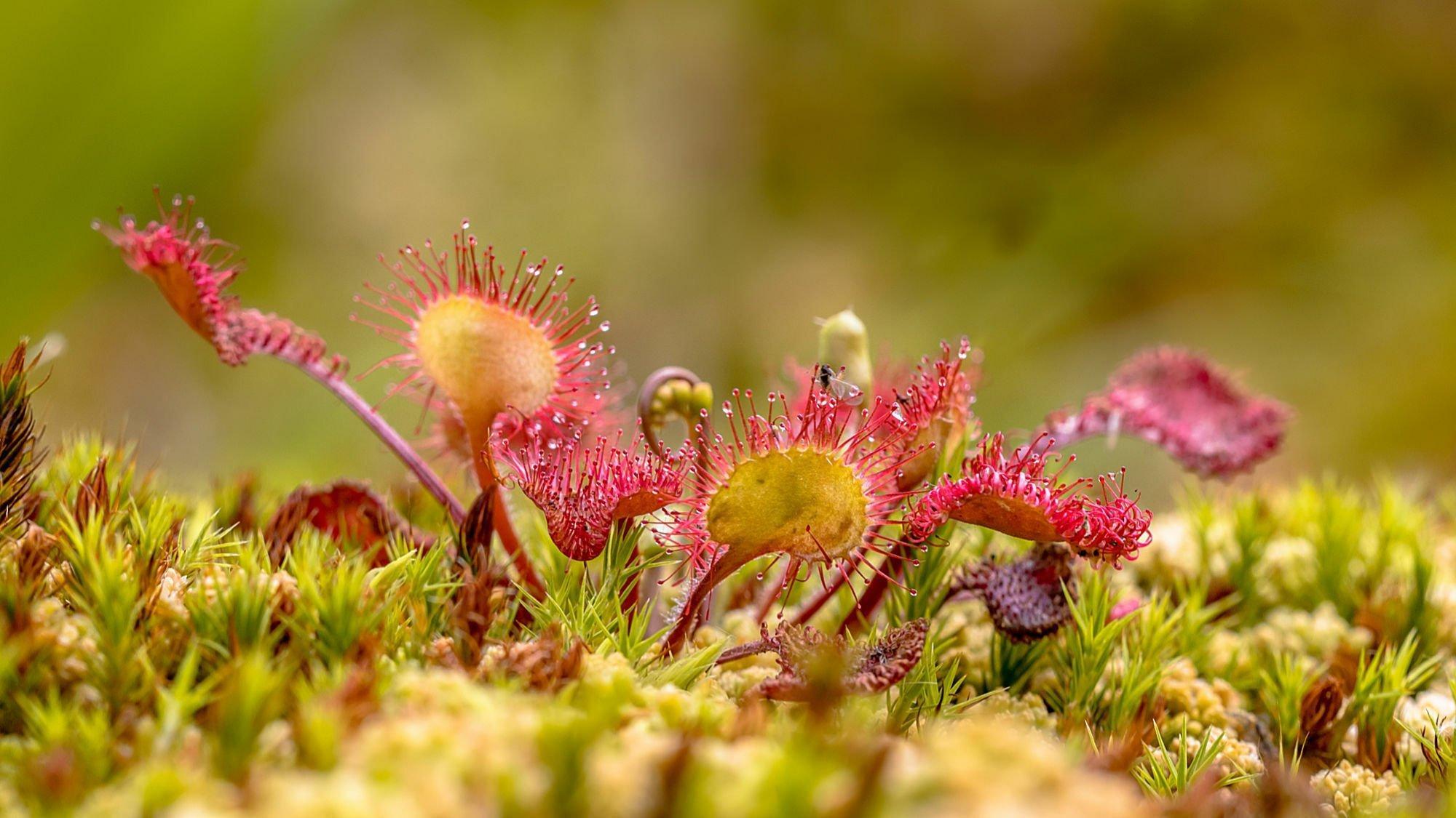 Ein rundblättriger Sonnentau mit roten Leimtentakeln wächst auf Moos  in einem Biotop in den Niederlanden.