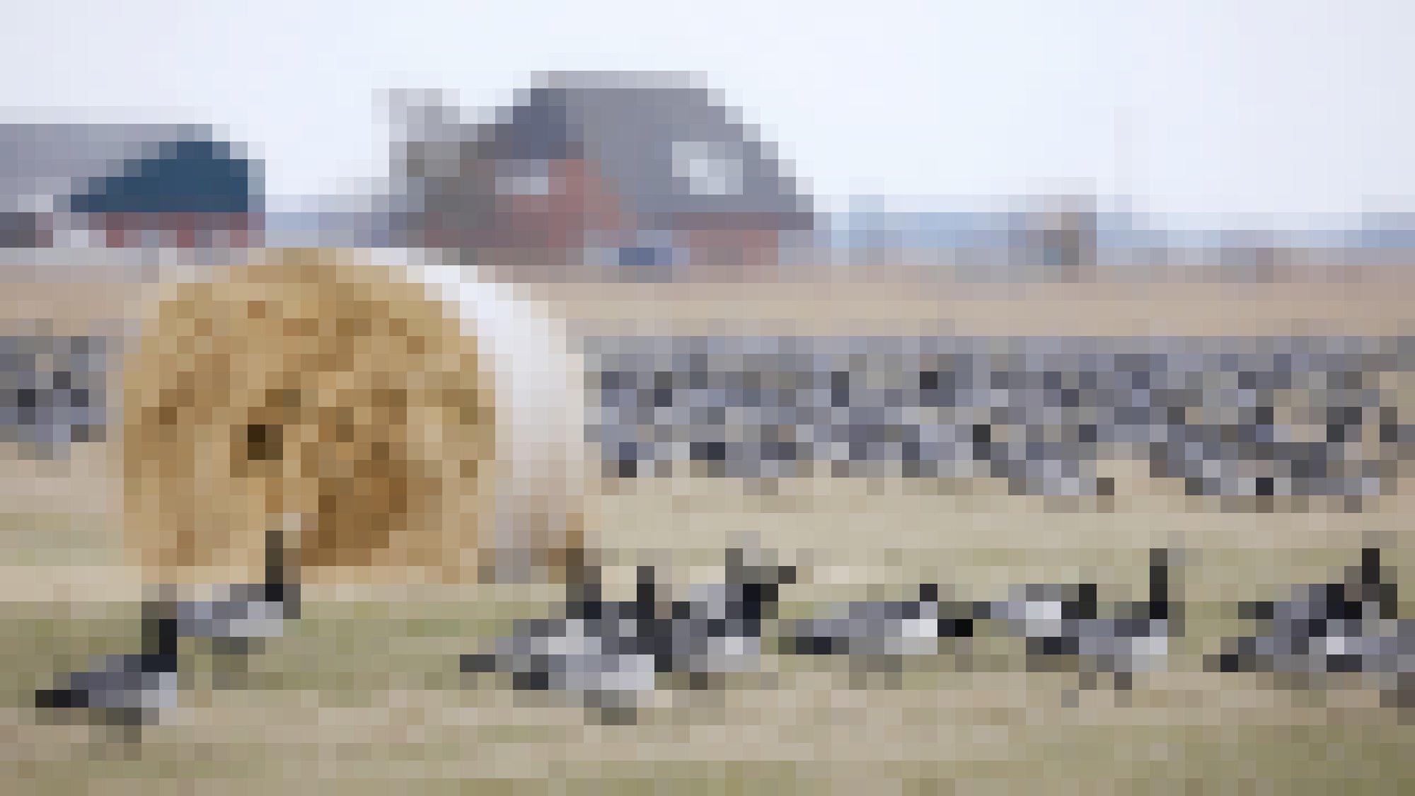 Eine Gruppe von schwarz-weiß-grauen Gänsen steht vor einem Heuballen, im Hintergrund eine größere Gruppe Gänse und Gebäude.
