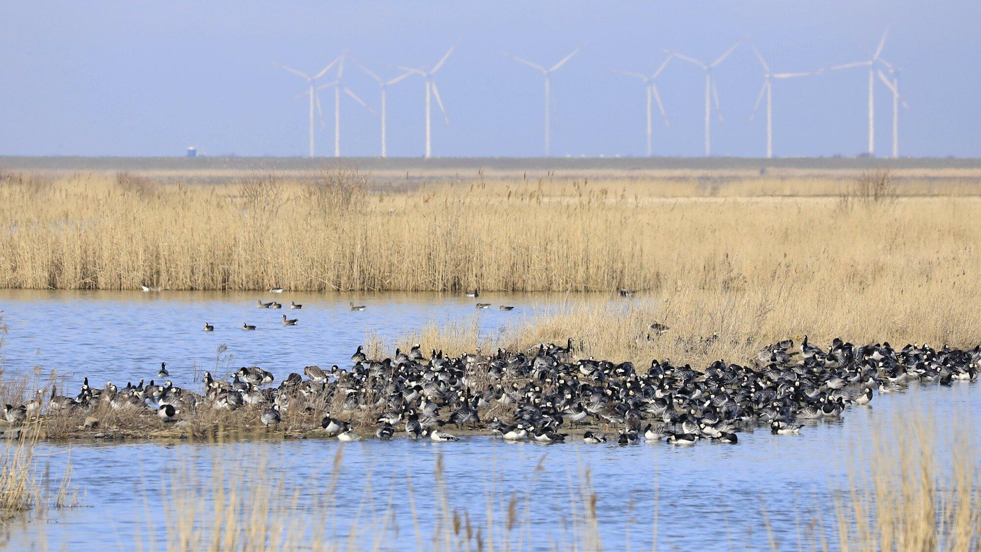 Eine Gruppe von Gänsen sitzt auf einer Landzunge, umgeben von Wasser. Im Hintergrund steht Riet vor einer Reihe von Windrädern am Horizont.