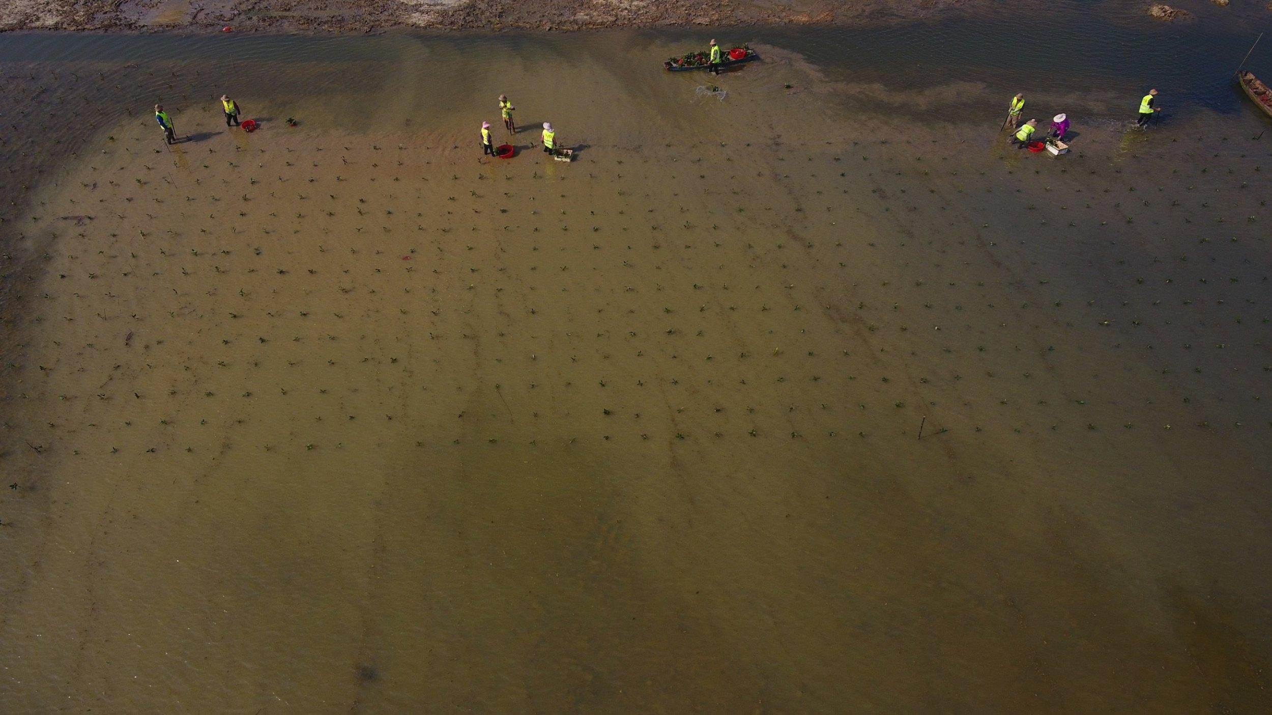 Luftbild von Arbeitern, die im flachen Wasser Mangroven einer Küsten anpflanzen.