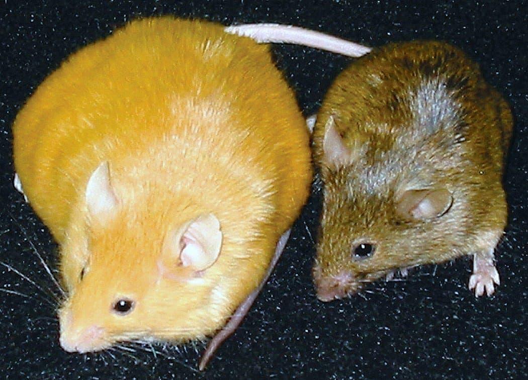 eine dicke gelbe Maus neben einer gewöhnlichen Maus
