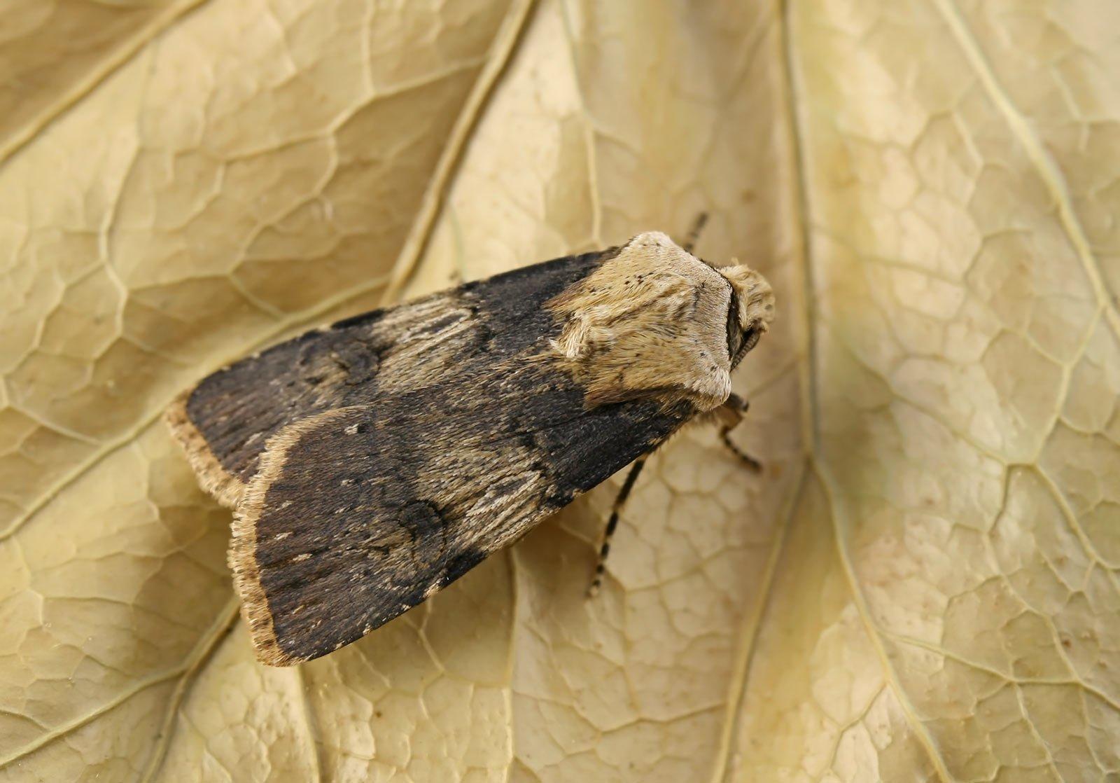 Die Schmalflügelige Erdeule, Agrotis puta, auf einem Blatt.
