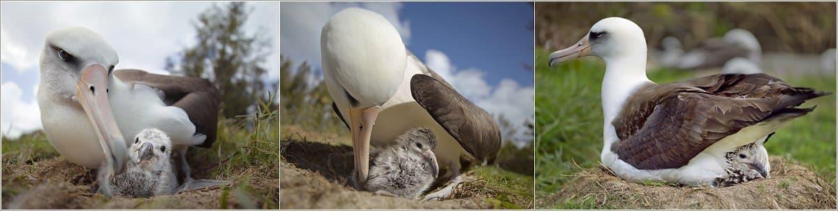 Ein Albatros mit seinem Küken im Nest.