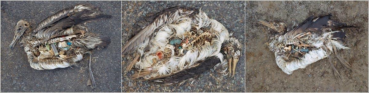 Ein verwestes Albatros-Küken, in dessen Bauchraum bunte Plastikteile sichtbar sind.