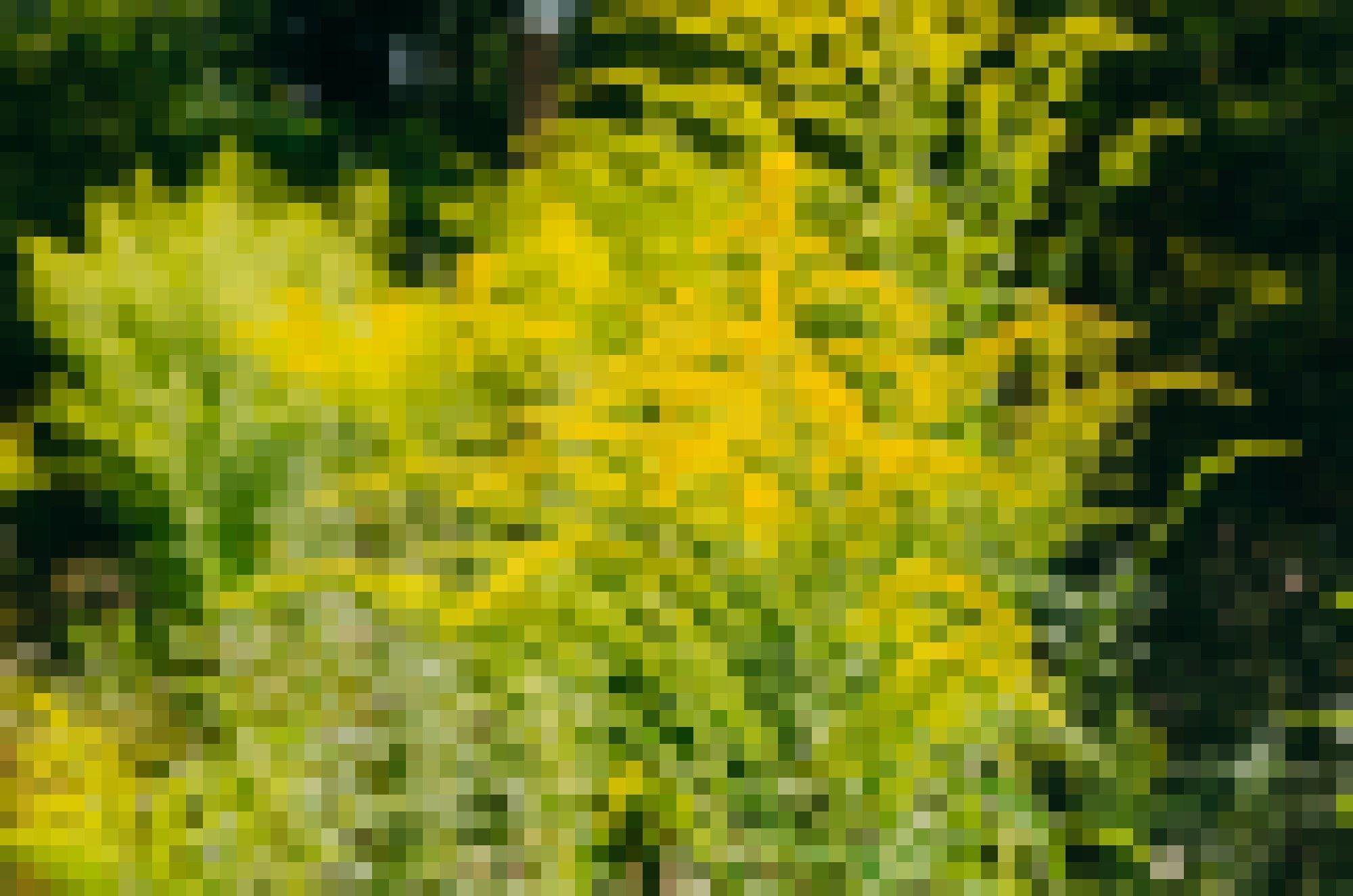 """Das Bild zeigt gelb blühende Ambrosia. Der Pollenflug der eingeschleppten Ambrosia setzt im Hochsommer ein. Durch ihr hohes allergisches Potenzial kann Ambrosia Reizungen der Atemwege bis hin zu einem Asthma-Anfall auslösen. Bei der Berührung der haarigen Stiele kann es außerdem zu einer Kontaktallergie kommen. Viele Pflanzen finden sich häufig in der Nähe von Vogelhäuschen, da in Futter mit Sonnenblumenkernen oft Ambrosiensamen enthalten sind. Das kommt daher, dass Ambrosien oft auf Sonnenblumenfeldern als """"Ackerunkraut"""" vorkommen. Wer einen großen Ambrosia-Bestand entdeckt, sollte das der zuständigen Behörde melden, damit die Pflanzen fachgerecht entsorgt werden können."""
