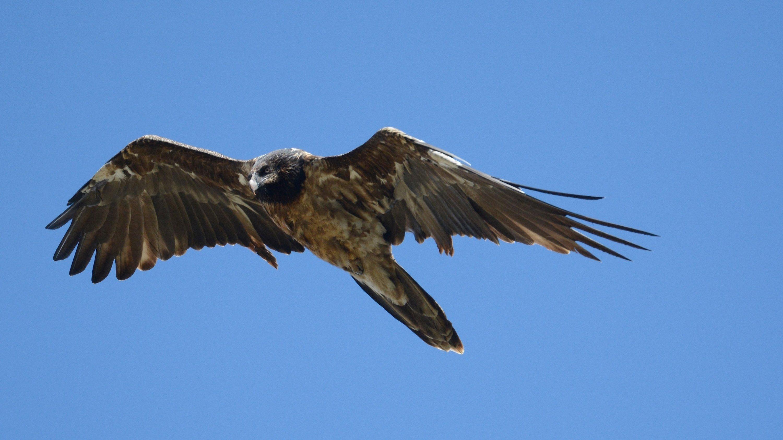 Ein Bartgeier fliegt, die Flügel weit ausgbreitet, am blauen Himmel.