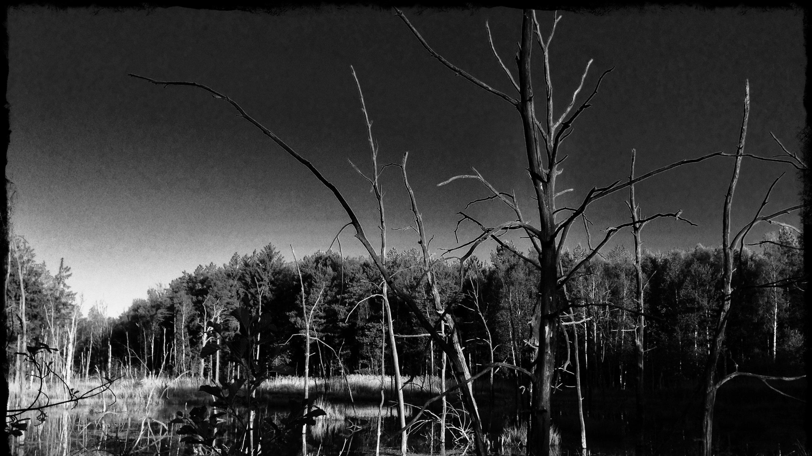 Schwarz-weißes Bild einer verlassenen See-Landschaft mit abgestorbenen Birkenstümpfen als Ergebnis des Dammbaus eines Bibers.