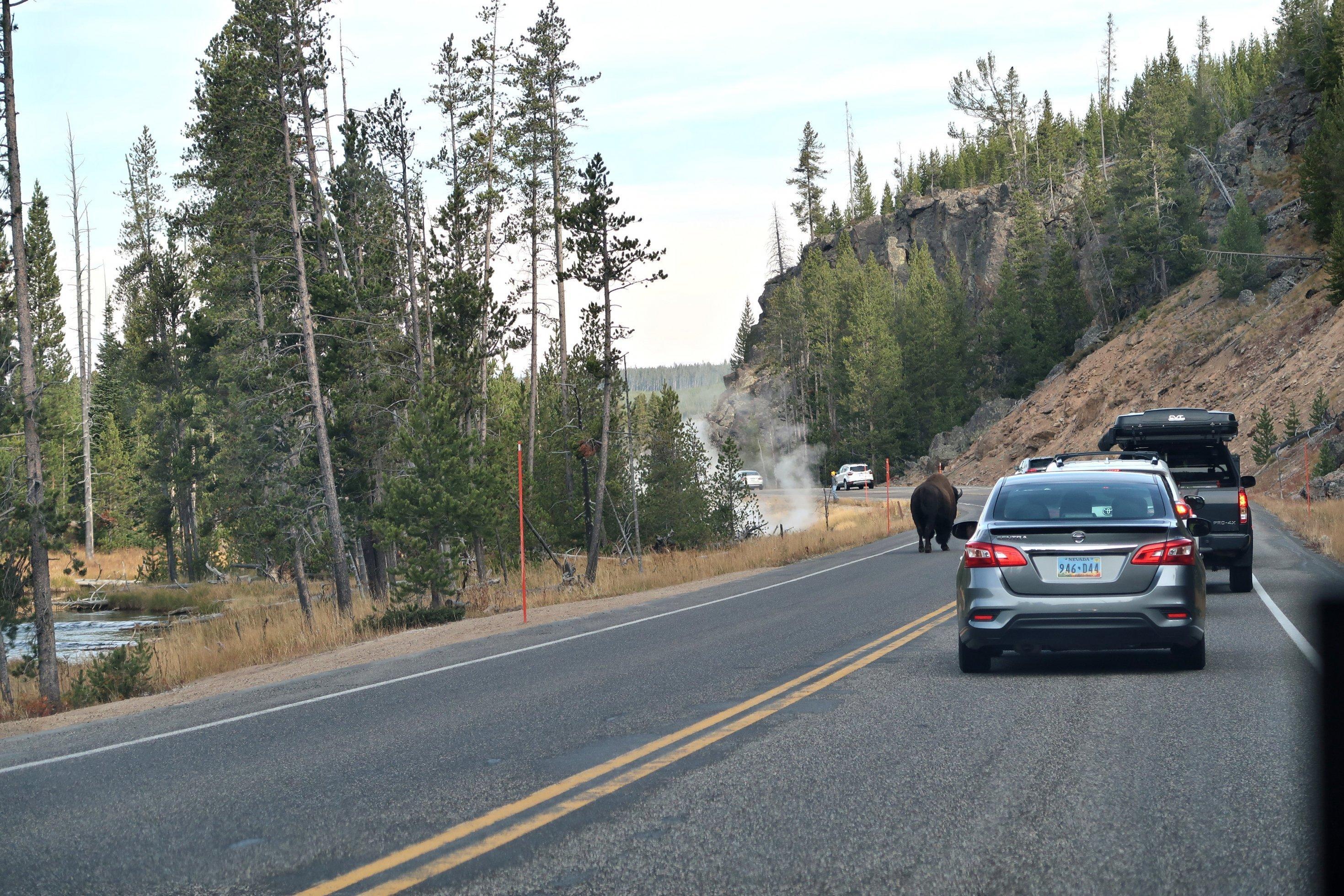 Ein Bison läuft auf dem Highway, daneben fahren Autos,