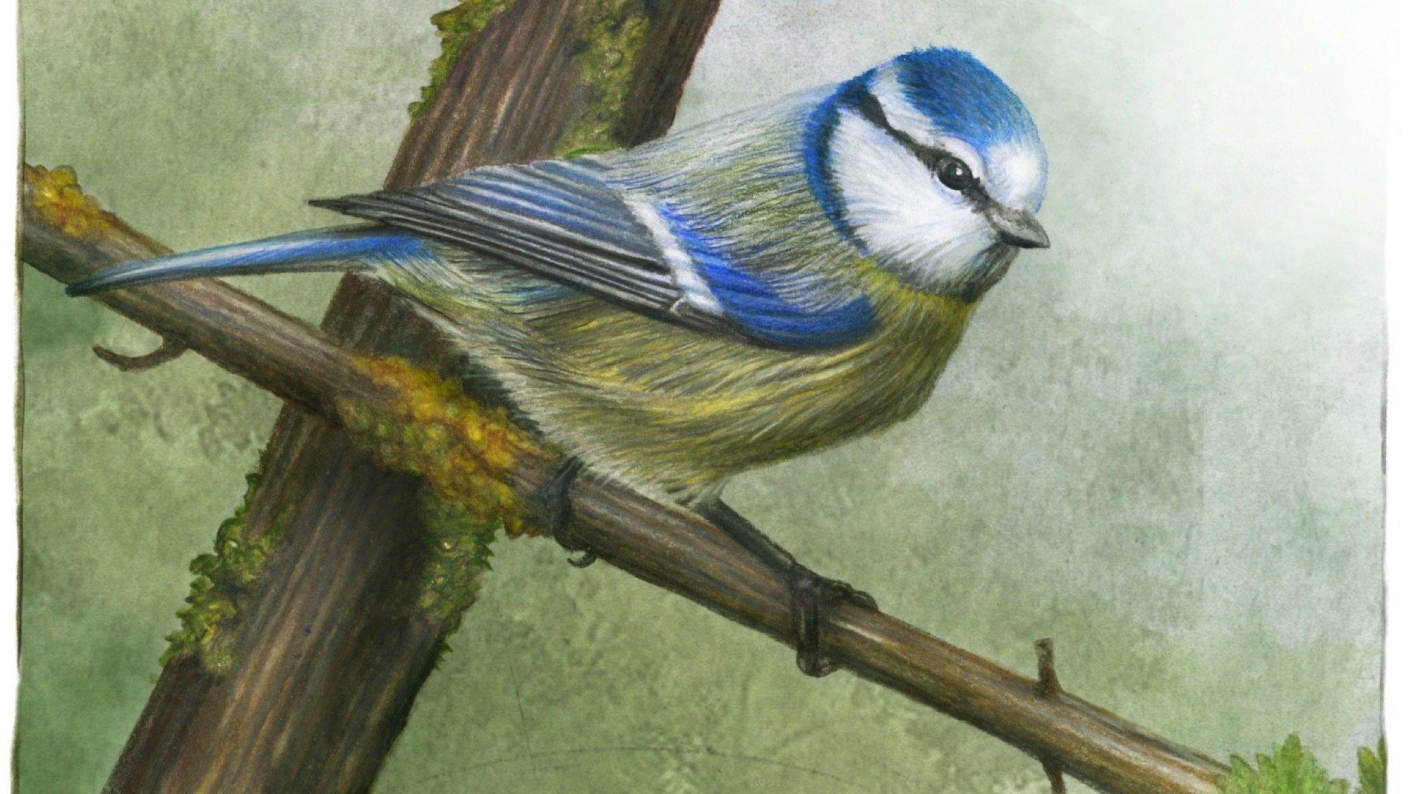 Illustration einer Blaumeise, auf einem Ast sitzend