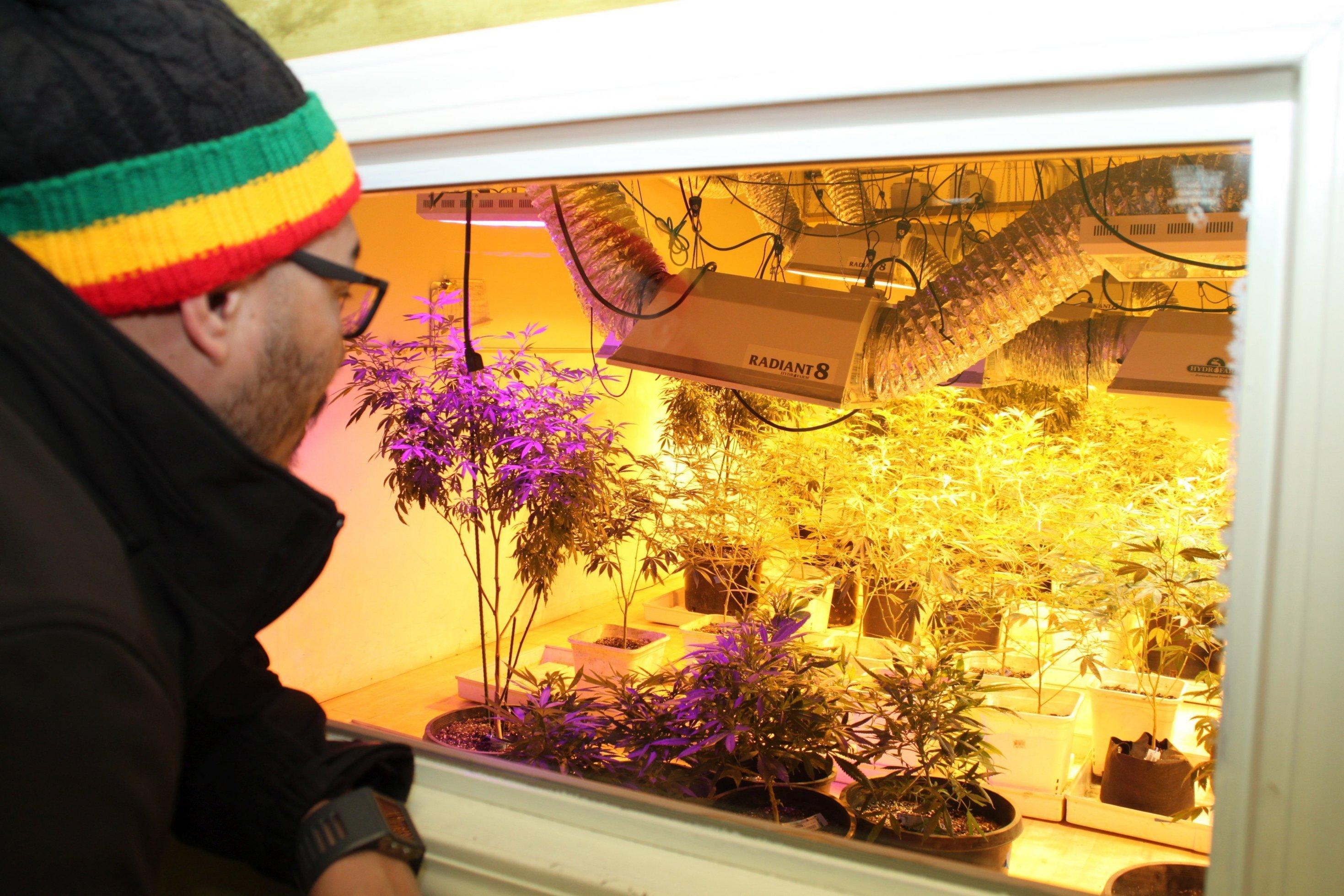 Ein Mann blickt durchs Fenster. Dahinter blüht Cannabis.