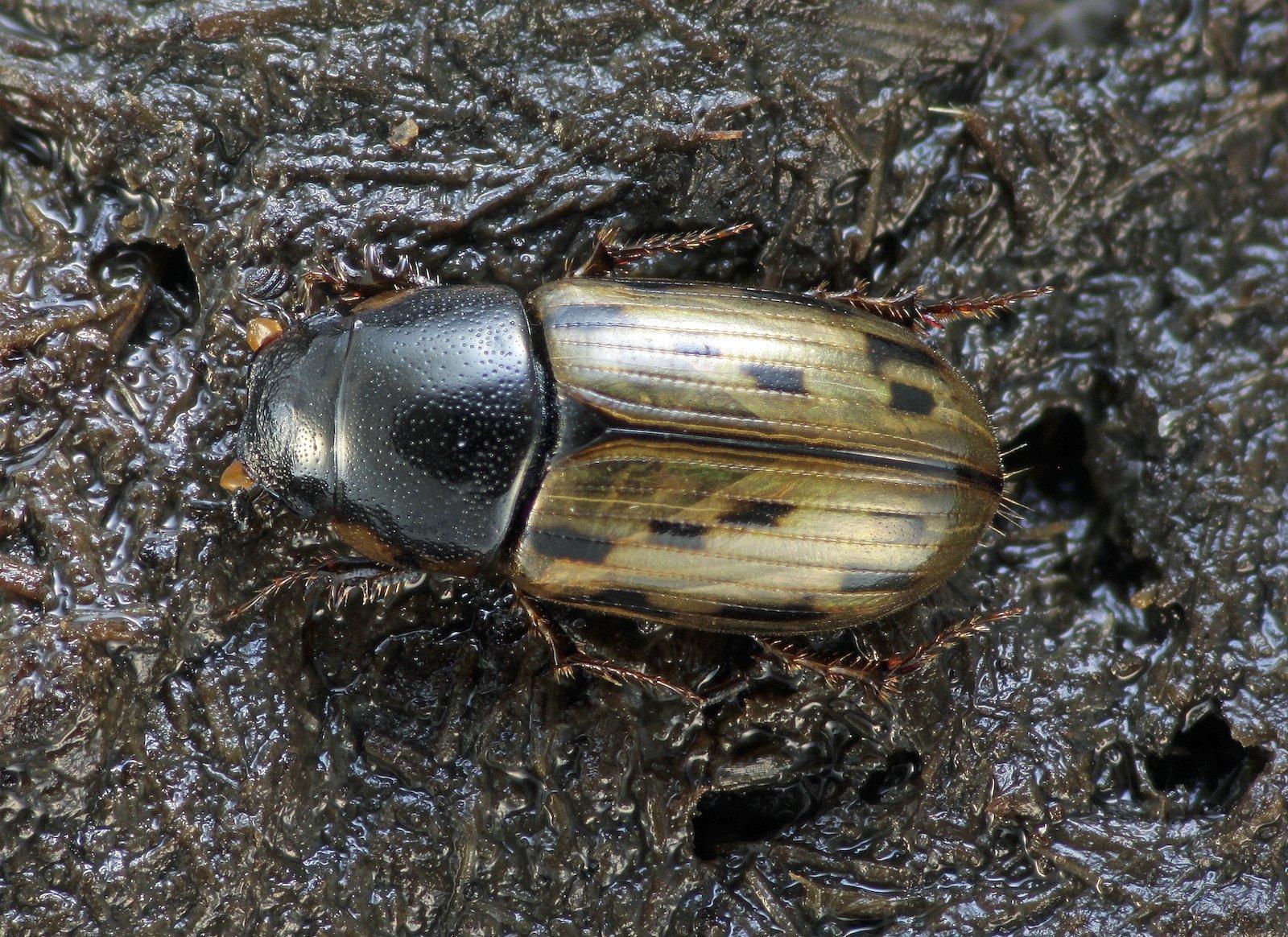 Der Dungkäfer Aphodius conspurgatus ist ein hübscher, golden schimmender Käfer