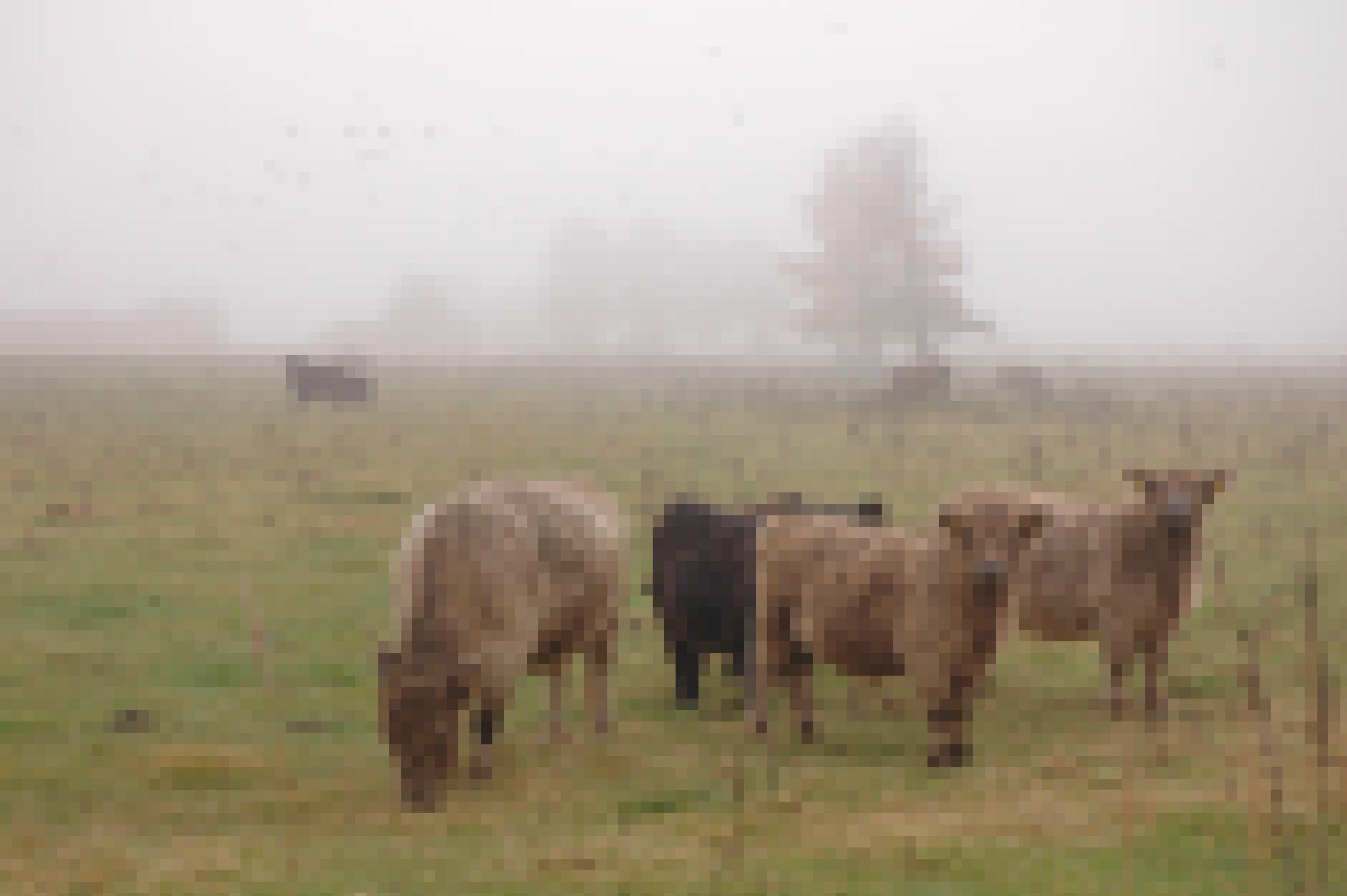 Eine kleine Gruppe zottiger Galloway-Rinder, teils hellbraun, teils schwarz, steht auf einer nebelverhangenen Wiese am Dümmer See