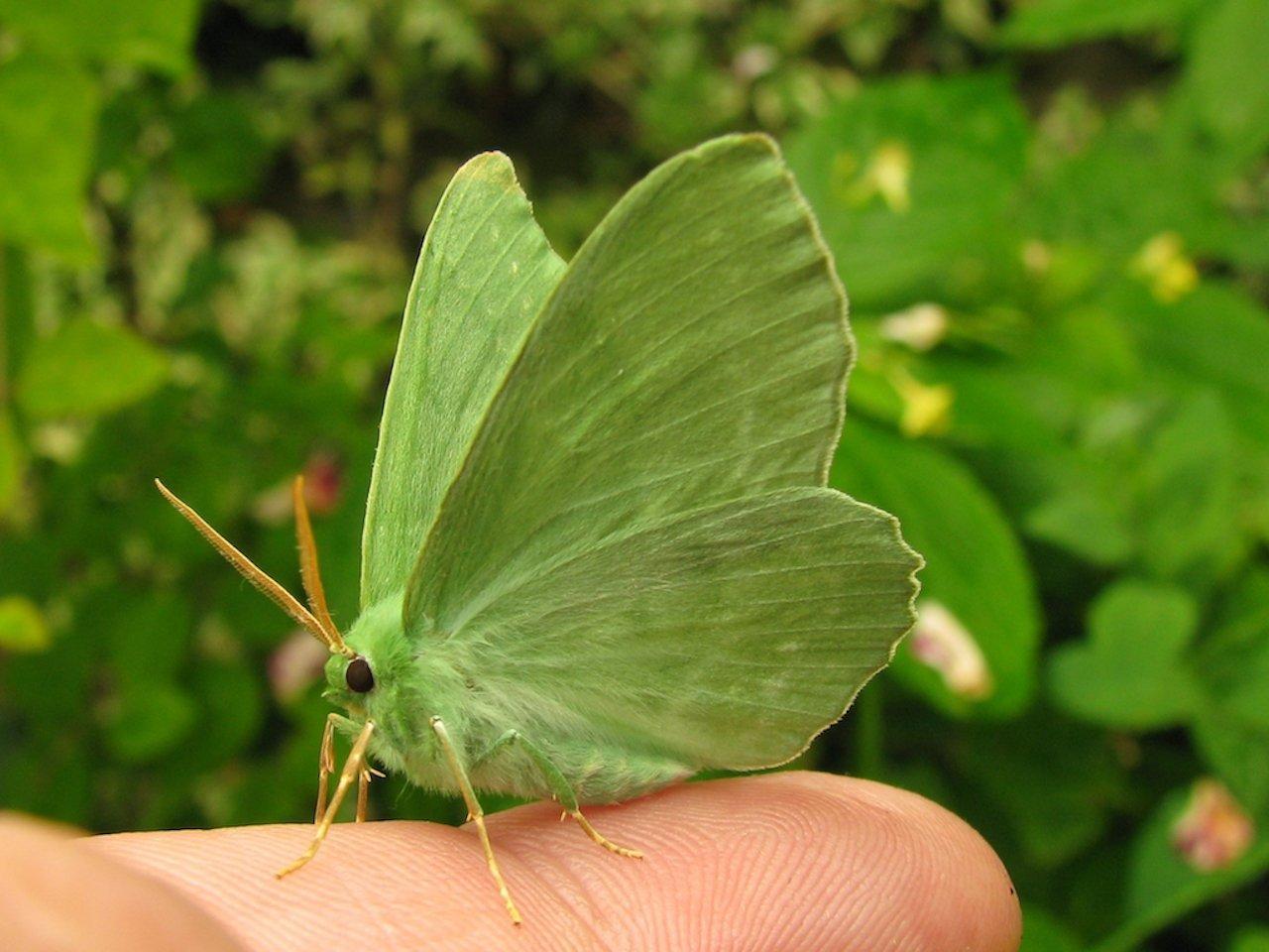 Ein Grünes Blatt, geometra papilionaria, sitzt auf einem Finger. Der Schmetterling ist hellgrün und sieht aus wie ein Blatt.
