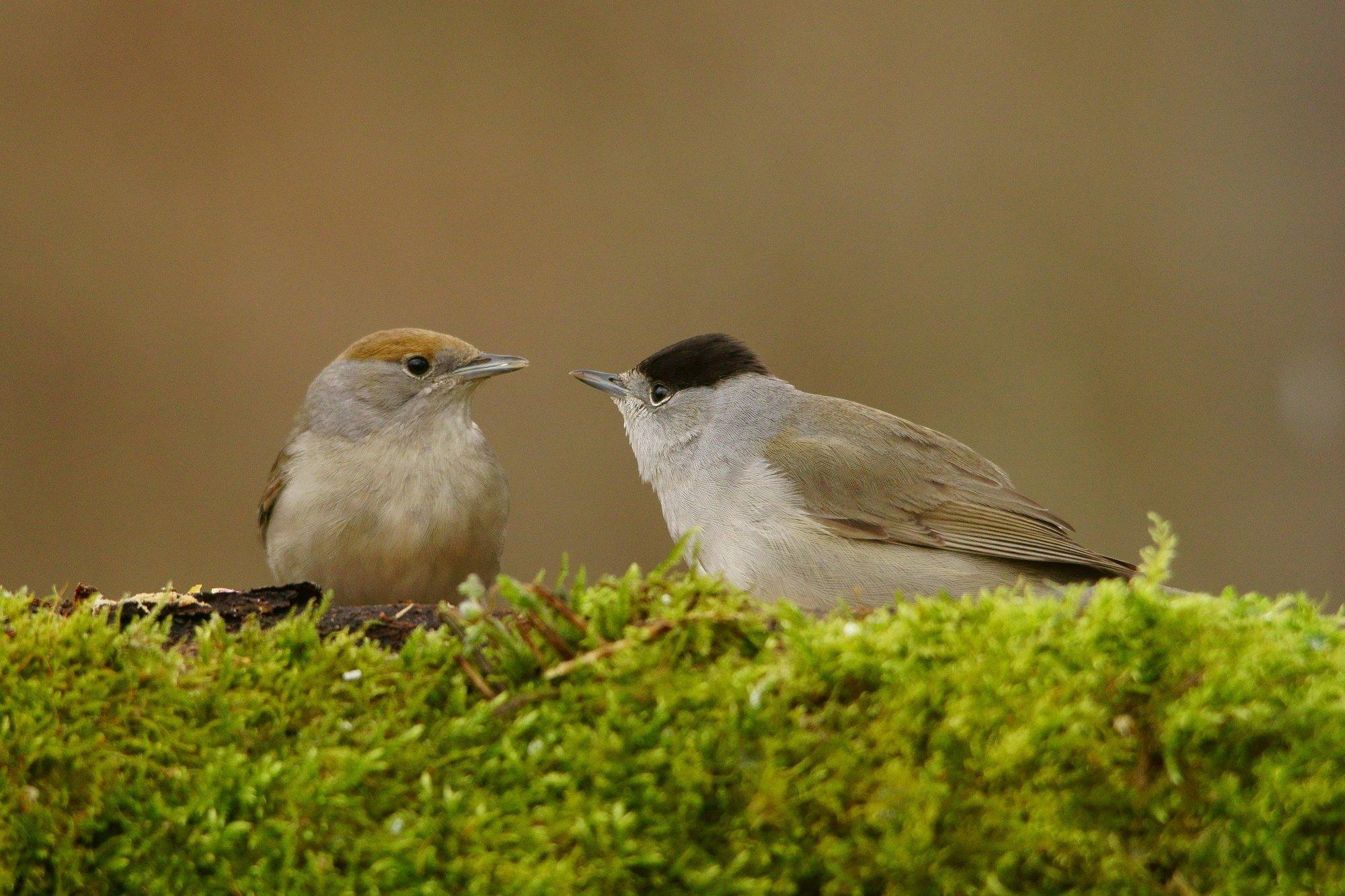 Männchen und Weibchen der Mönchsgrasmücke sitzen auf einem Zweig einander gegenüber