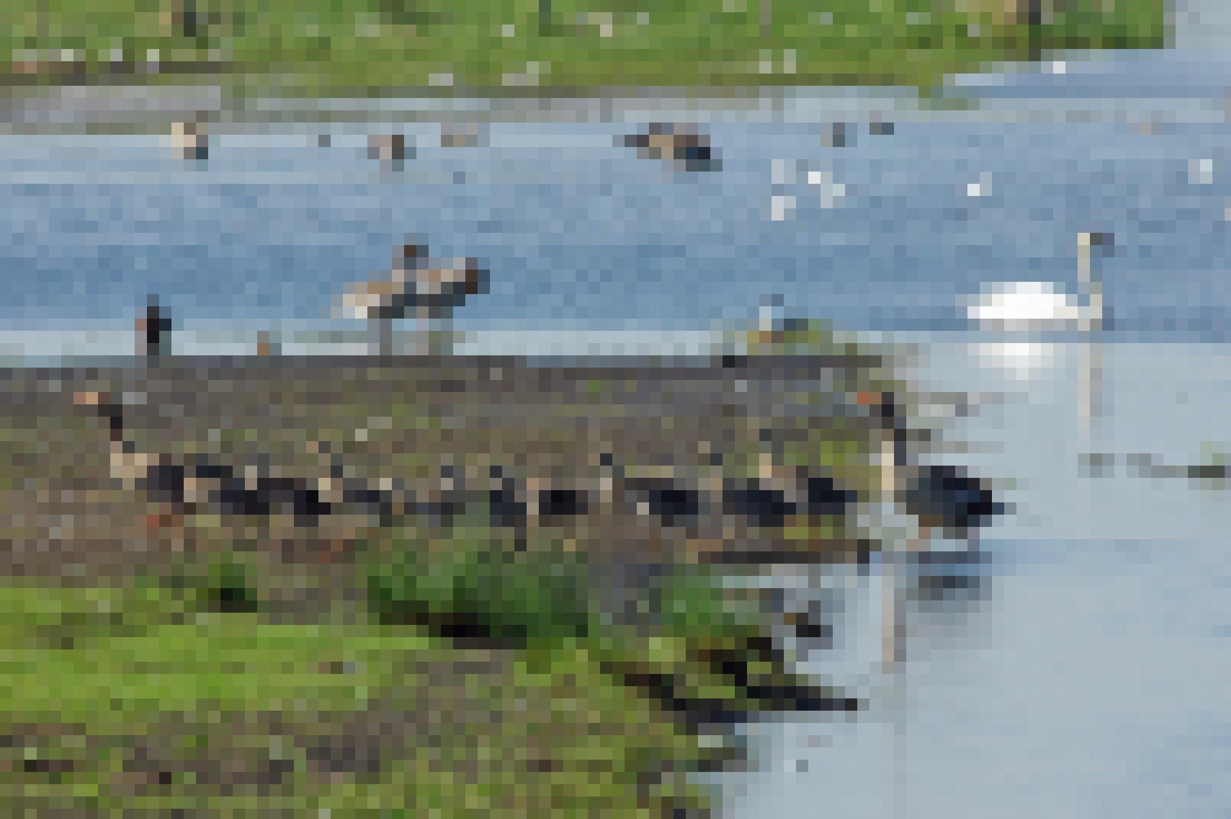 Ein Grauganspaar mit zehn Gösseln, sie kommen gerade im Gänsemarsch aus dem Wasser. Graugänse haben in den letzten Jahren am Dümmer stark zugenommen