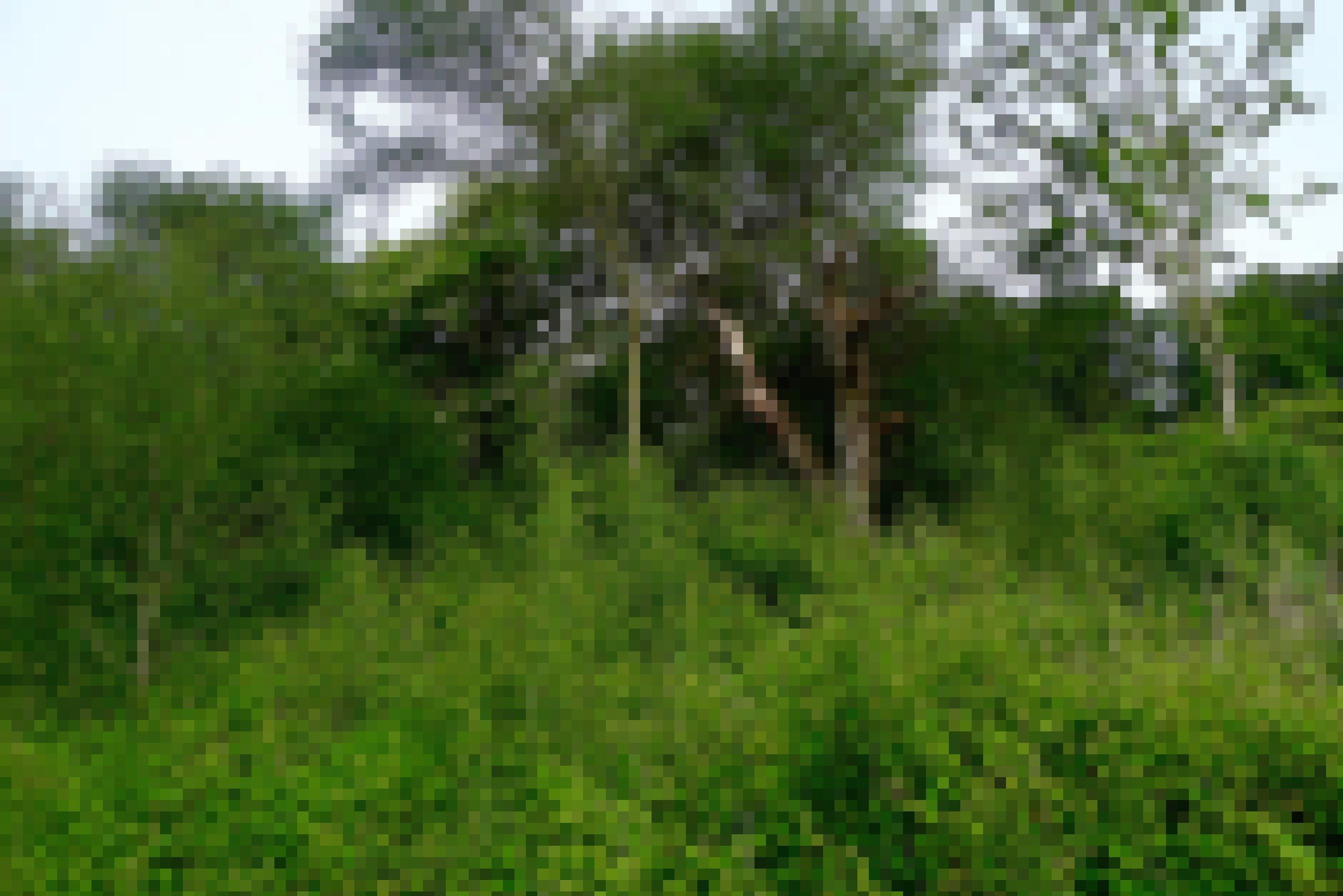 Eine Hecke mit Nuss- und Kirschbäumen, die über eine Wiese verläuft.