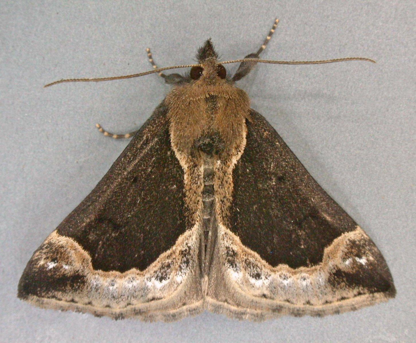 Die aparte Heidelbeer-Schnabeleule (Hypena crassalis) kommt vor allem in Moor und Heide vor. Ihre Raupen nähren sich vorzugsweise von den Pflanzen, nach denen sie benannt ist.
