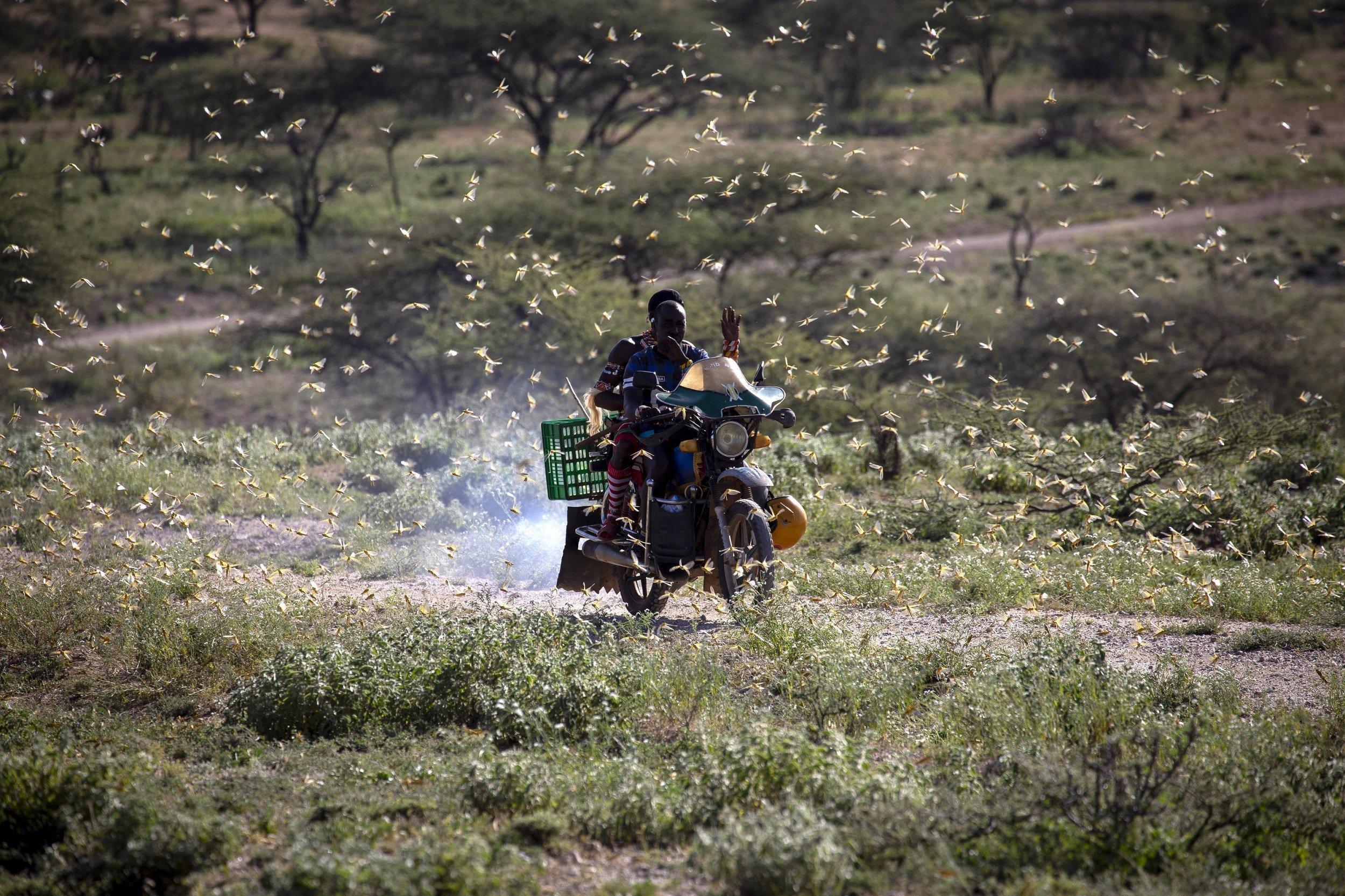 Ein Mann fährt auf einem Motorrad durch einen Heuschreckenschwarm.