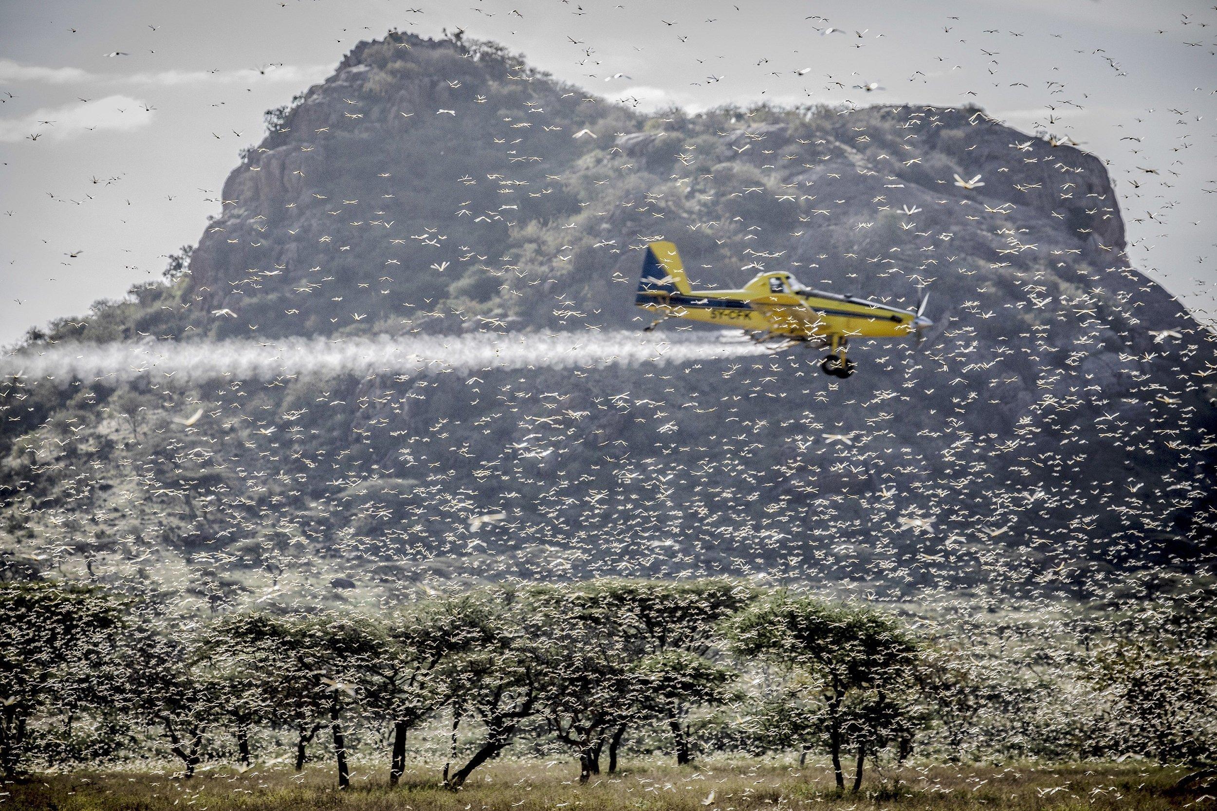 Vor einem Berg als Hintergrund fliegt ein kleines gelbes Flugzeug inmitten eines Heuschreckenschwarms und versprüht Insektenbekämpfungsmittel.