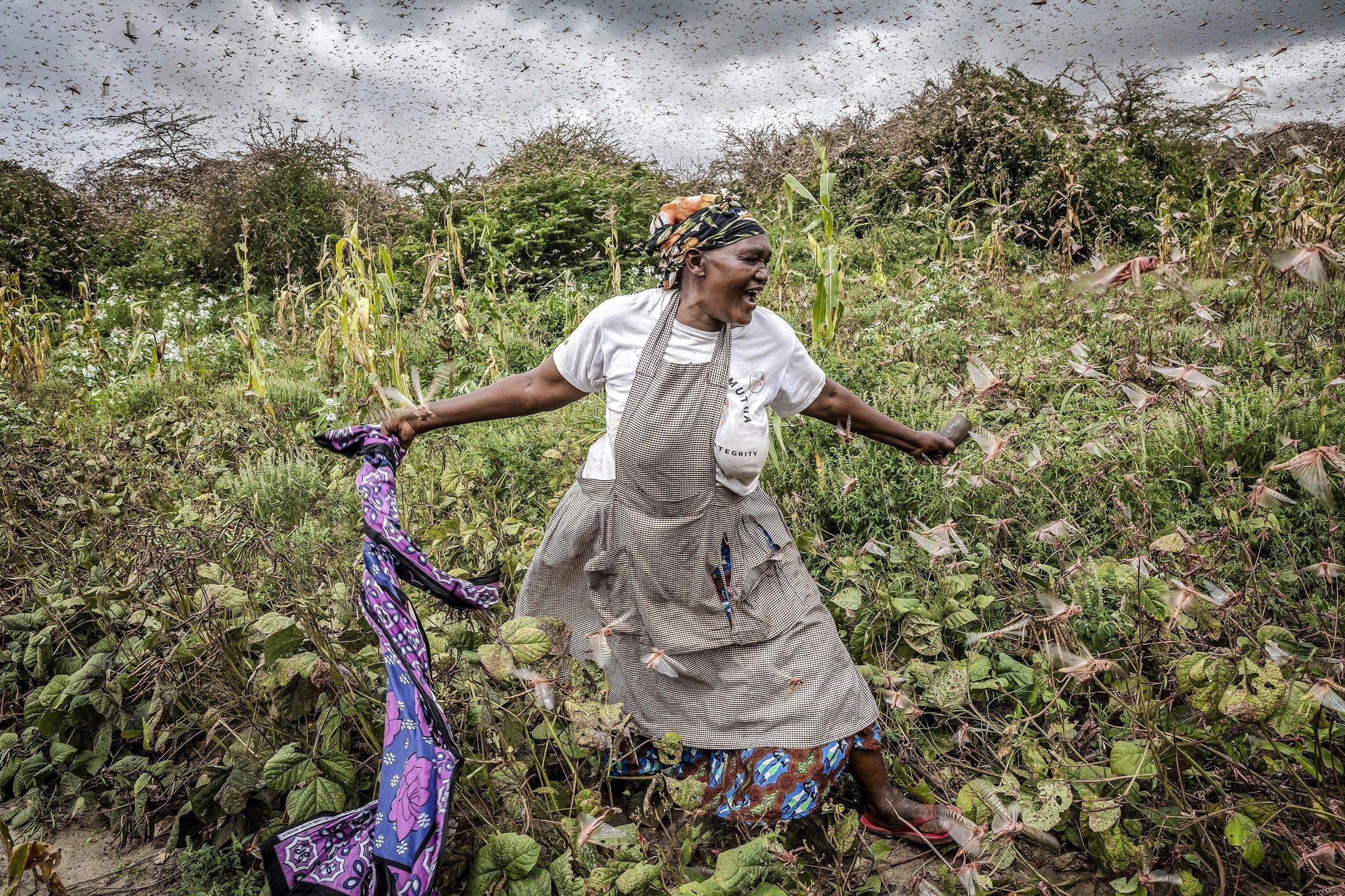 Eine wütende Frau versucht mit einem Tuch die Heuschrecken auf ihrem Acker zu vertreiben