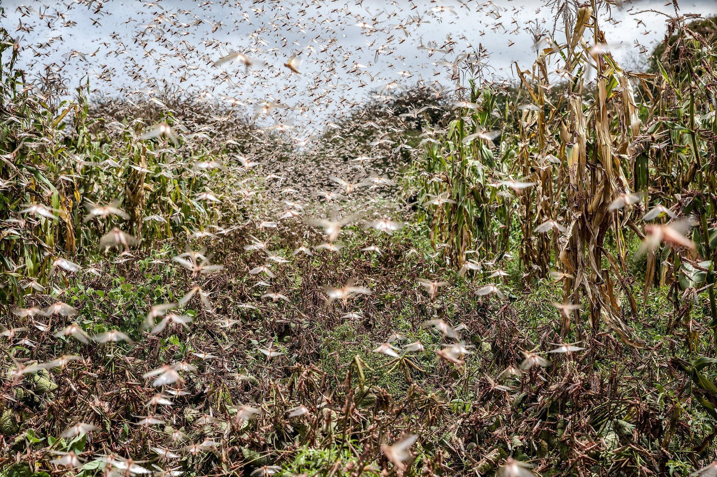 Ein fast kahlgefressenes Maisfeld, in dem es vor Heuschrecken nur so wimmelt.
