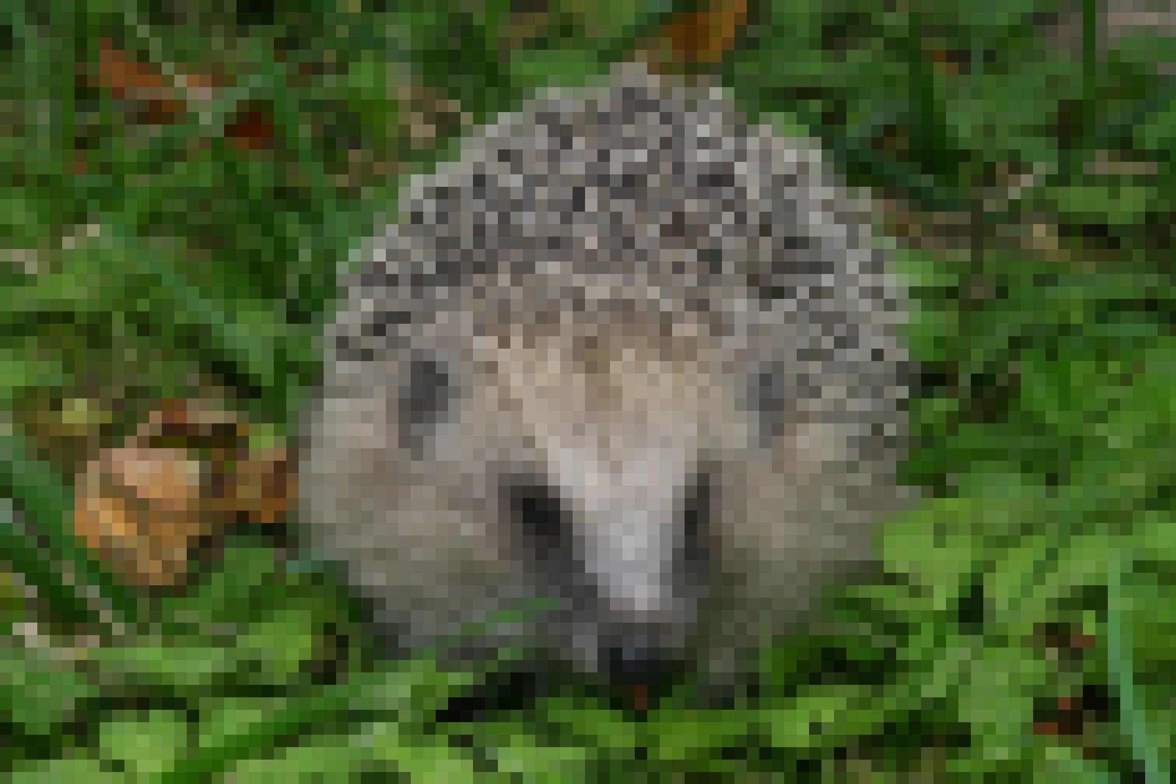 Ein Braunbrustigel (Erinaceus europaeus) im Gras.