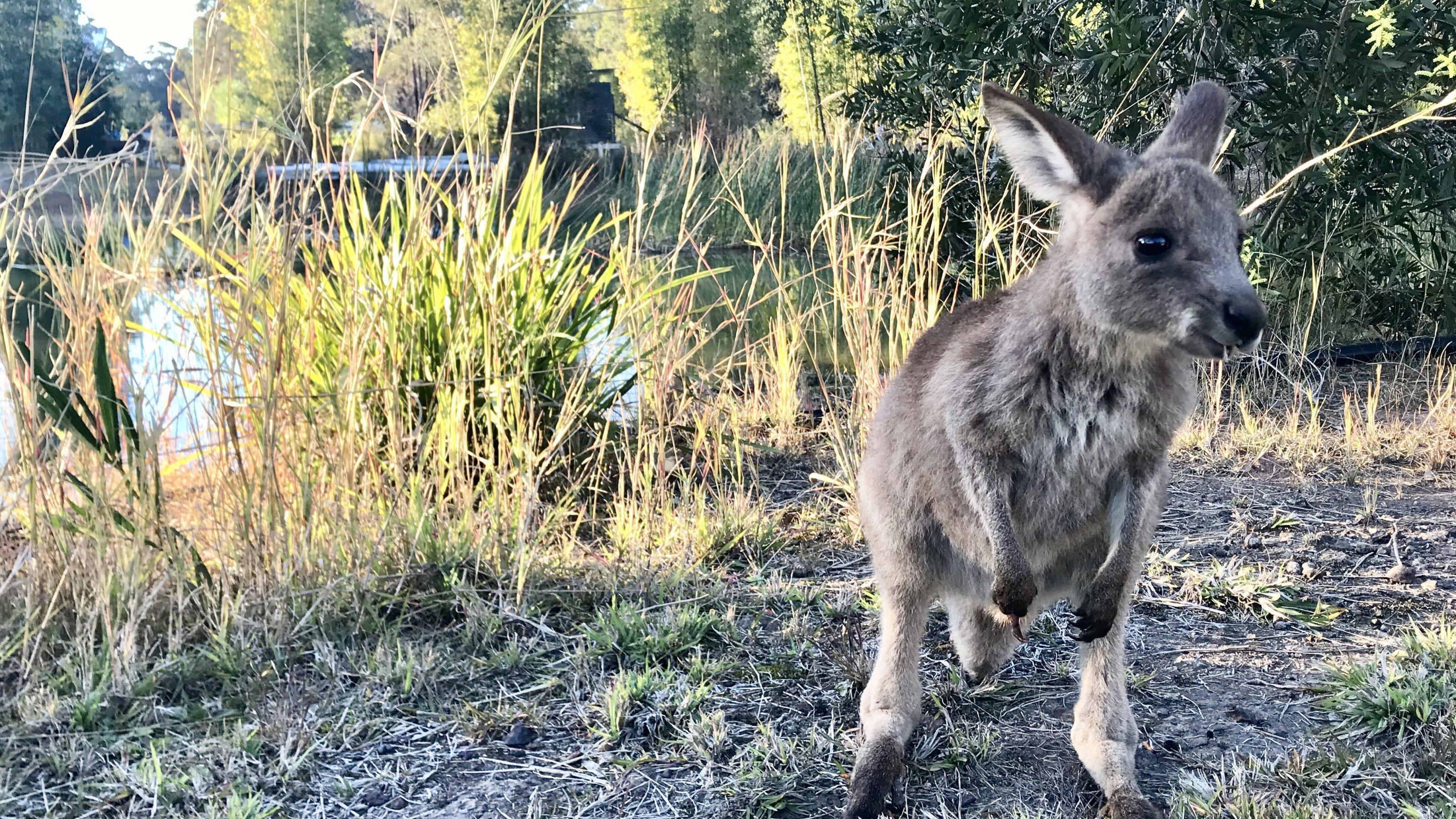 Känguru-Nachwuchs Jo-Jo vor einem kleinen See auf dem Grundstück, auf dem das östliche Riesenkänguru aufgezogen wird. Auf dem Bild ist das Joey etwa sieben Monate alt.