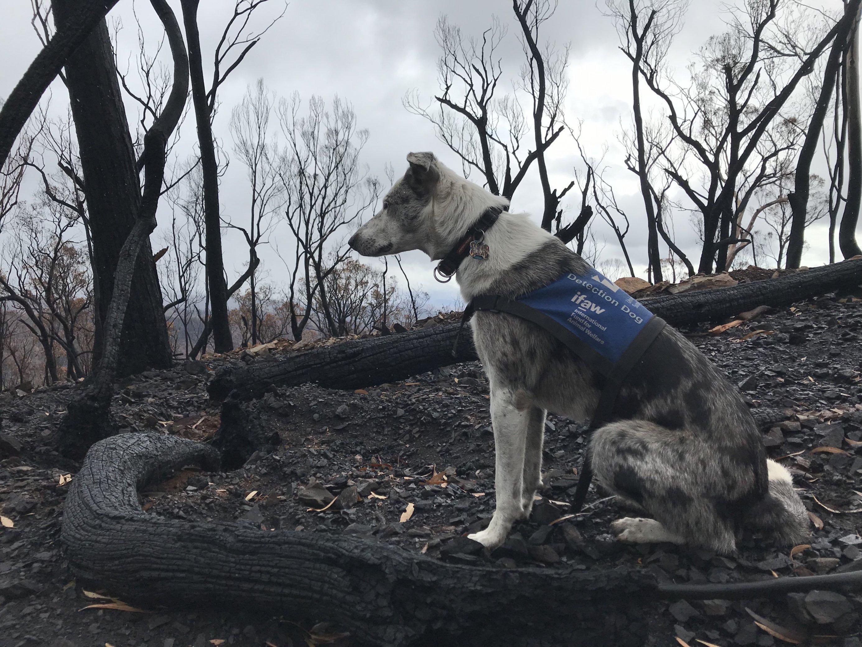 """Spürhund Bear, ein schwarz-weißer Kolonie sitzt zwischen verbranntem Gestrüpp. Der Hund wartet auf den Befehl """"Let's go find"""" ehe er sich im abgebrannten Two Thumbs Reservat auf die Suche nach überlebenden Koalas macht."""