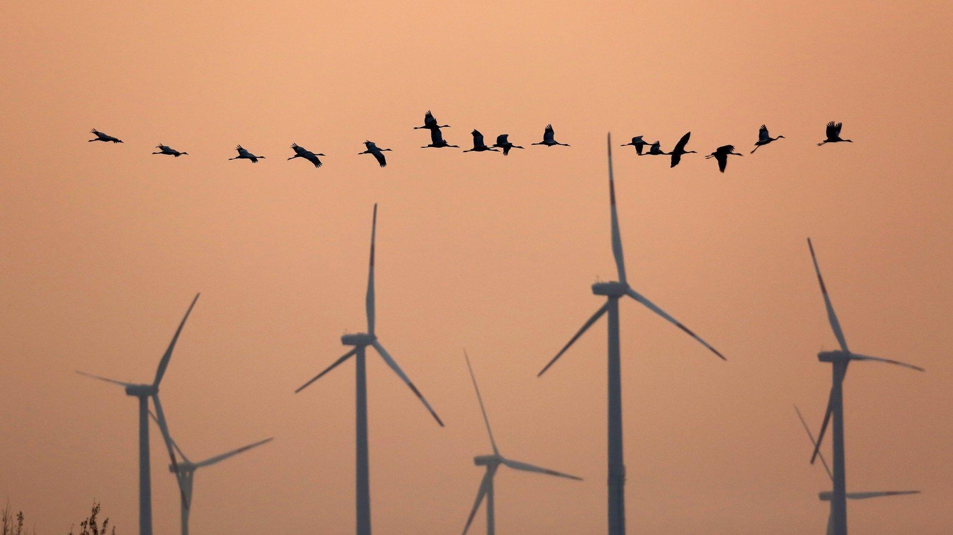 Rund ein Dutzend Kraniche fliegt vor einem Windpark vorbei; im Hintergrund die Abendsonne