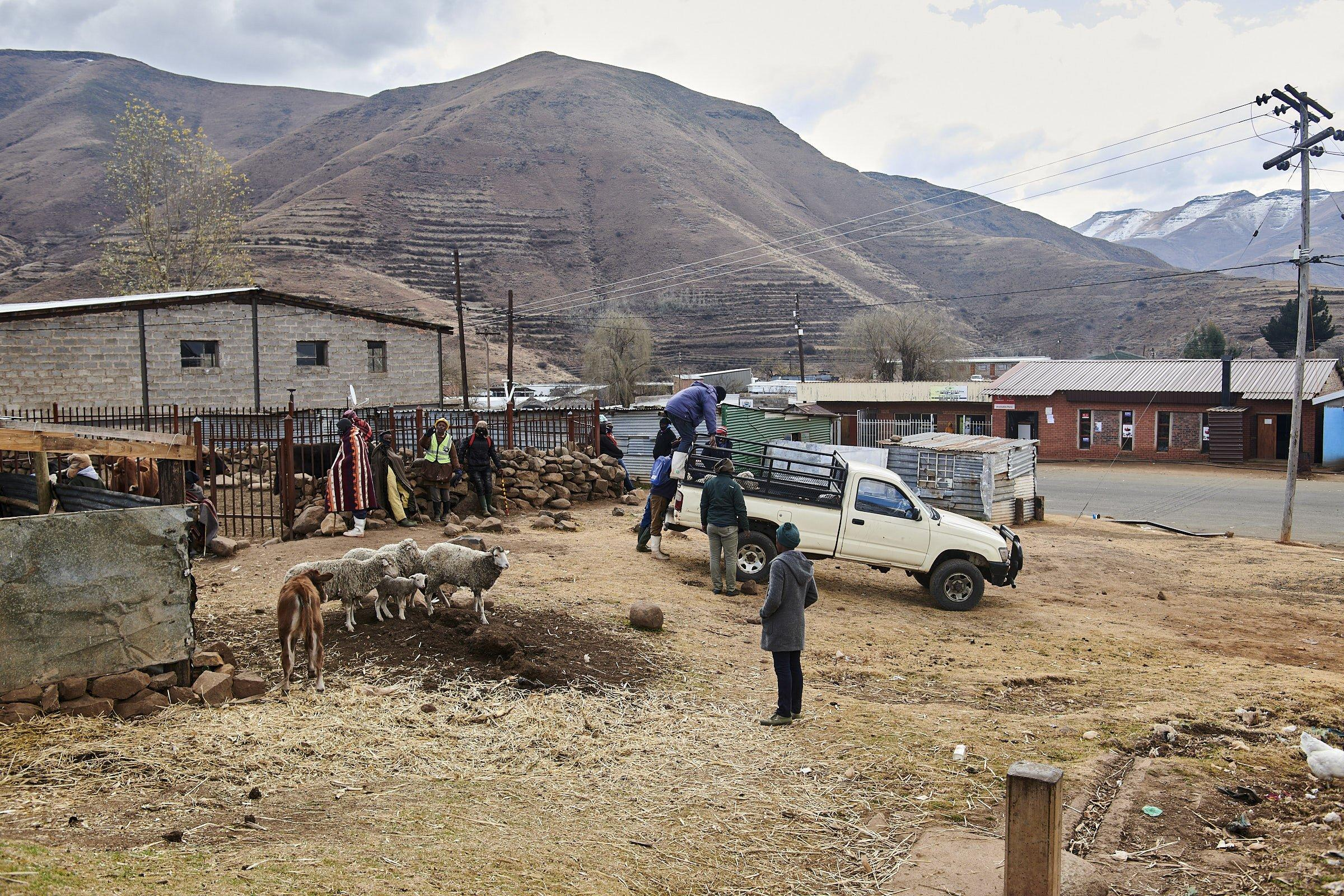 Auf dem Dorfplatz verladen Männer Schafe auf einen Pick-up, andere Kleinbauern lehnen am Zaun zum Viehpferch