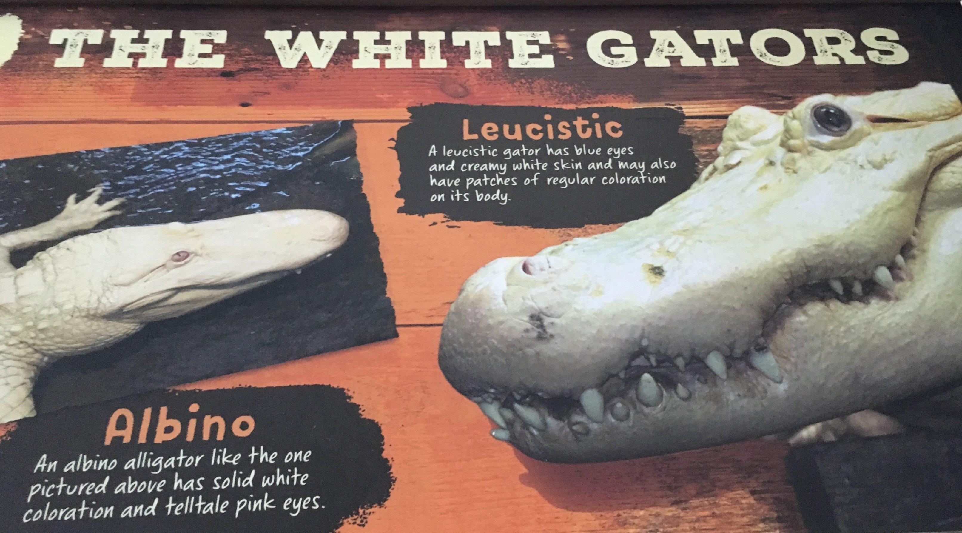 Der Albino ist reinweiß mit roten Augen, der leuzistische Alligator ist scheckig mit blauen Augen