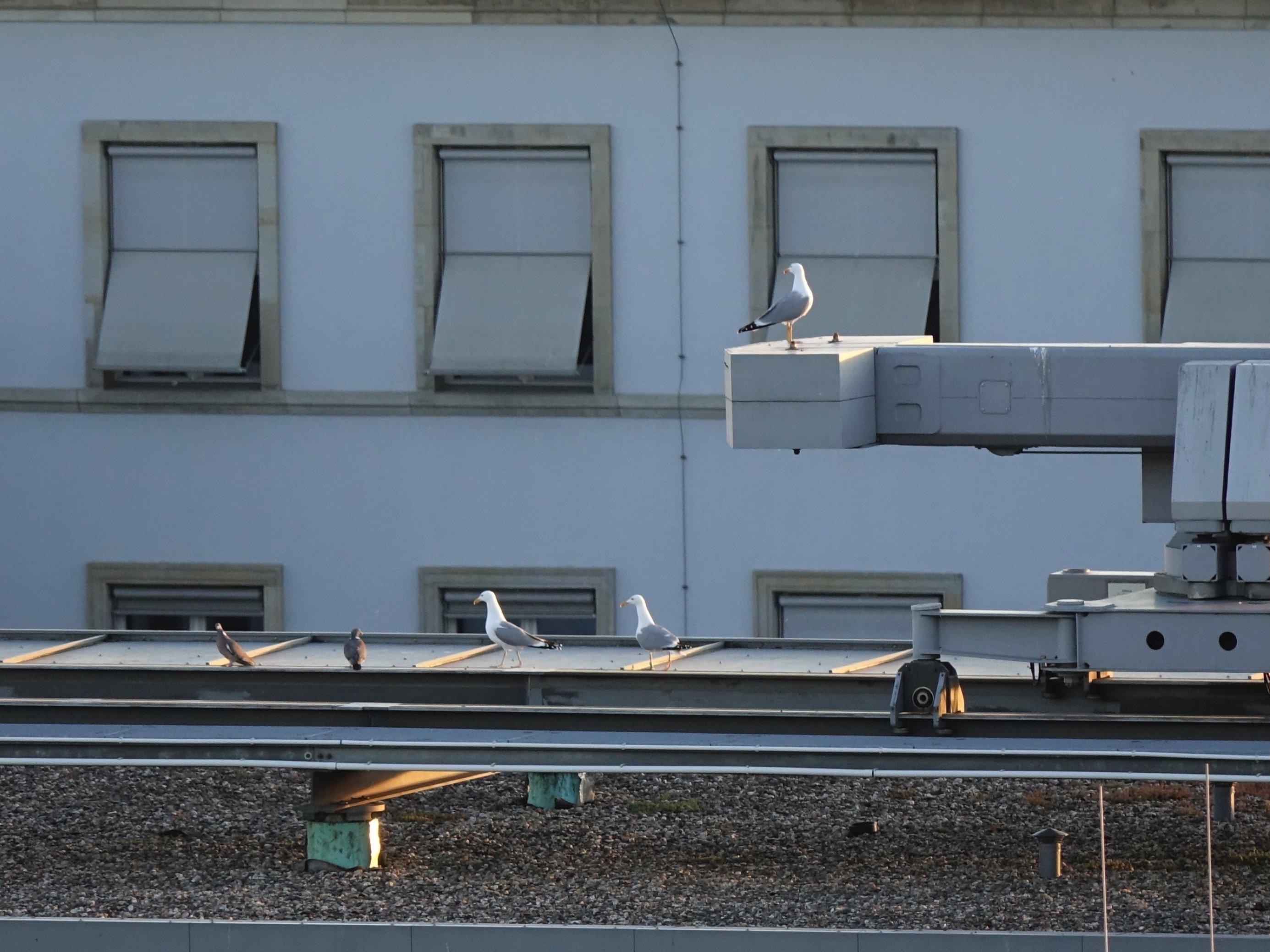 Zwei Silbermöwen (links) und eine Steppenmöwe (rechts) auf dem Dach des SPD-Fraktionsgebäudes.